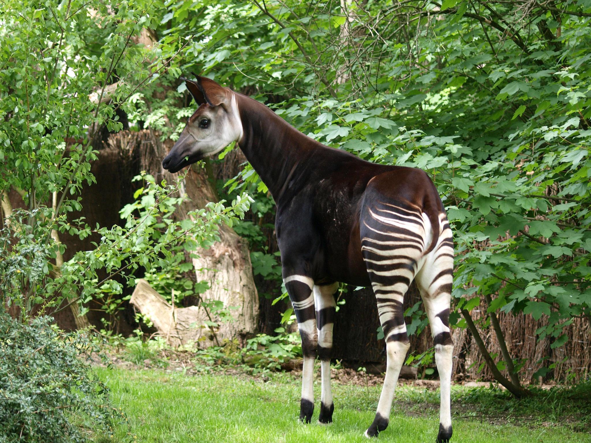 Okapi Zawadi