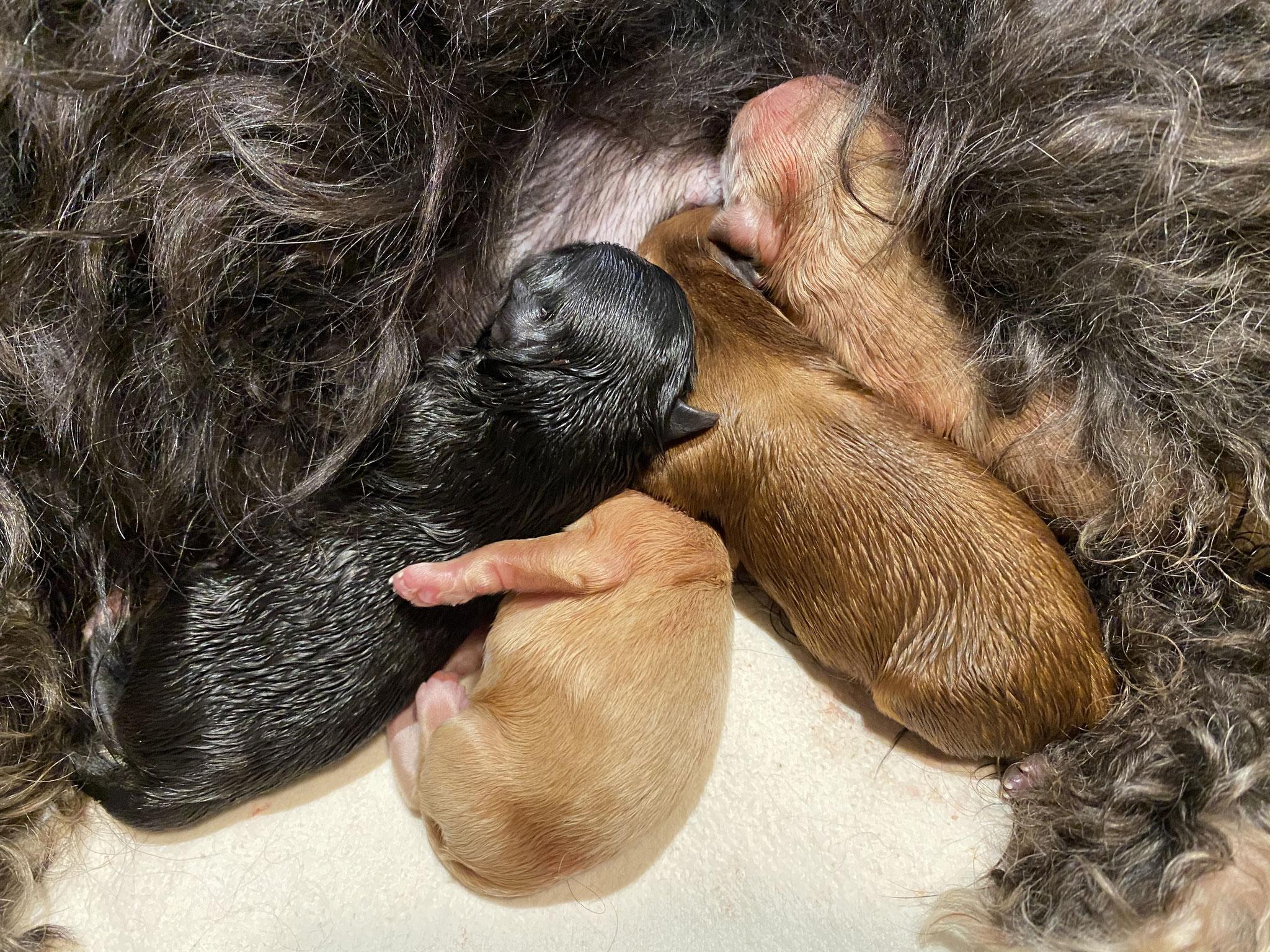 Die ersten vier Welpen sind geboren und die Geburt fertig, oder?