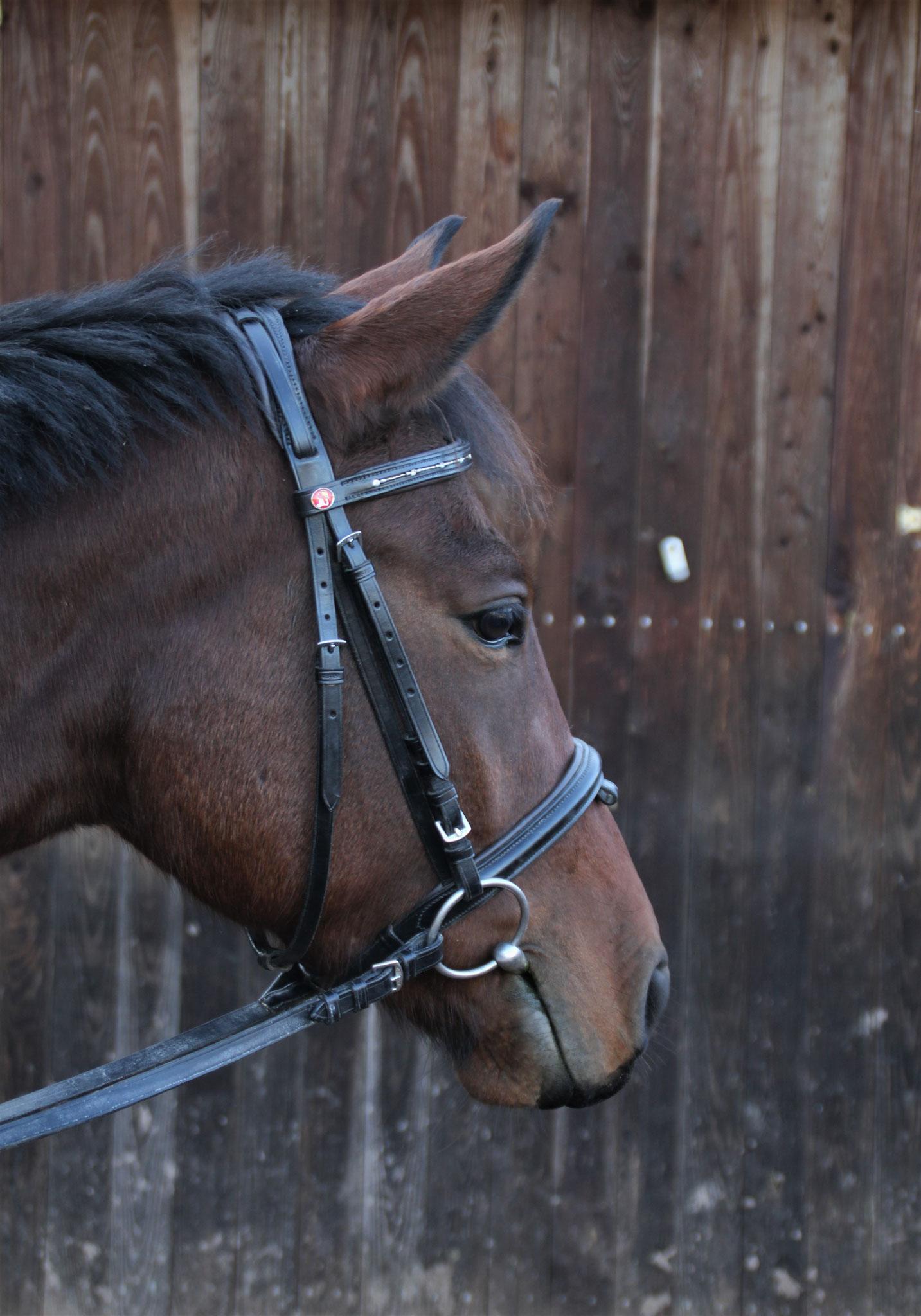 Wellness, geb. 2016, 158 cm. Ein bei uns gezüchtetes Halbblut, das im Moment durch sein Alter nur an erfahrene Reiter vergeben wird. Sie ist eine Schmusekatze, sehr schlau, liebt es betüddelt zu werden und kann Türen öffnen.