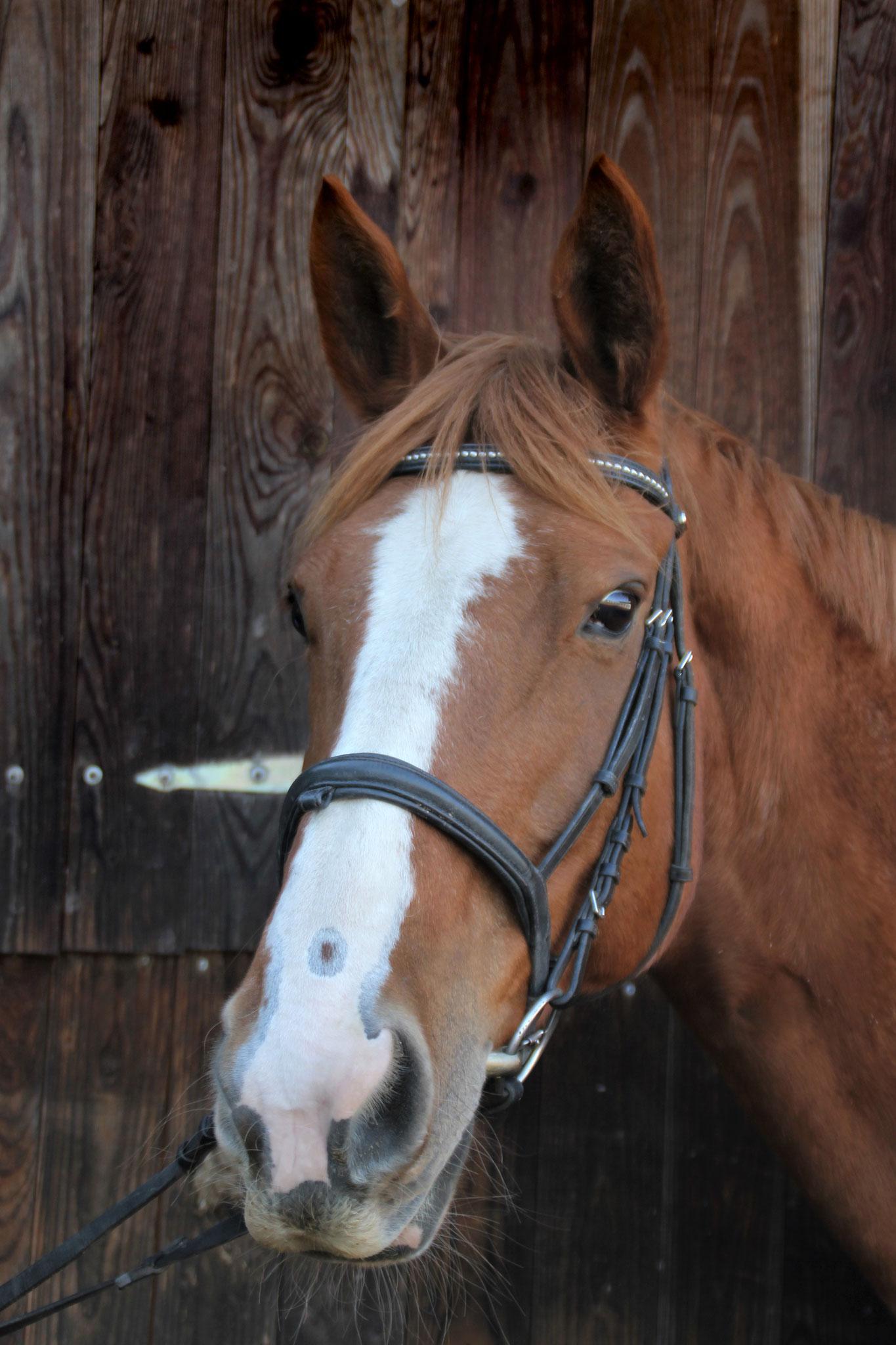 London Dancer, geb. 2007, 179 cm. Ein Riese, der vor allem bei fortgeschrittenen Reitern durch seine Dressurqualitäten begehrt ist.