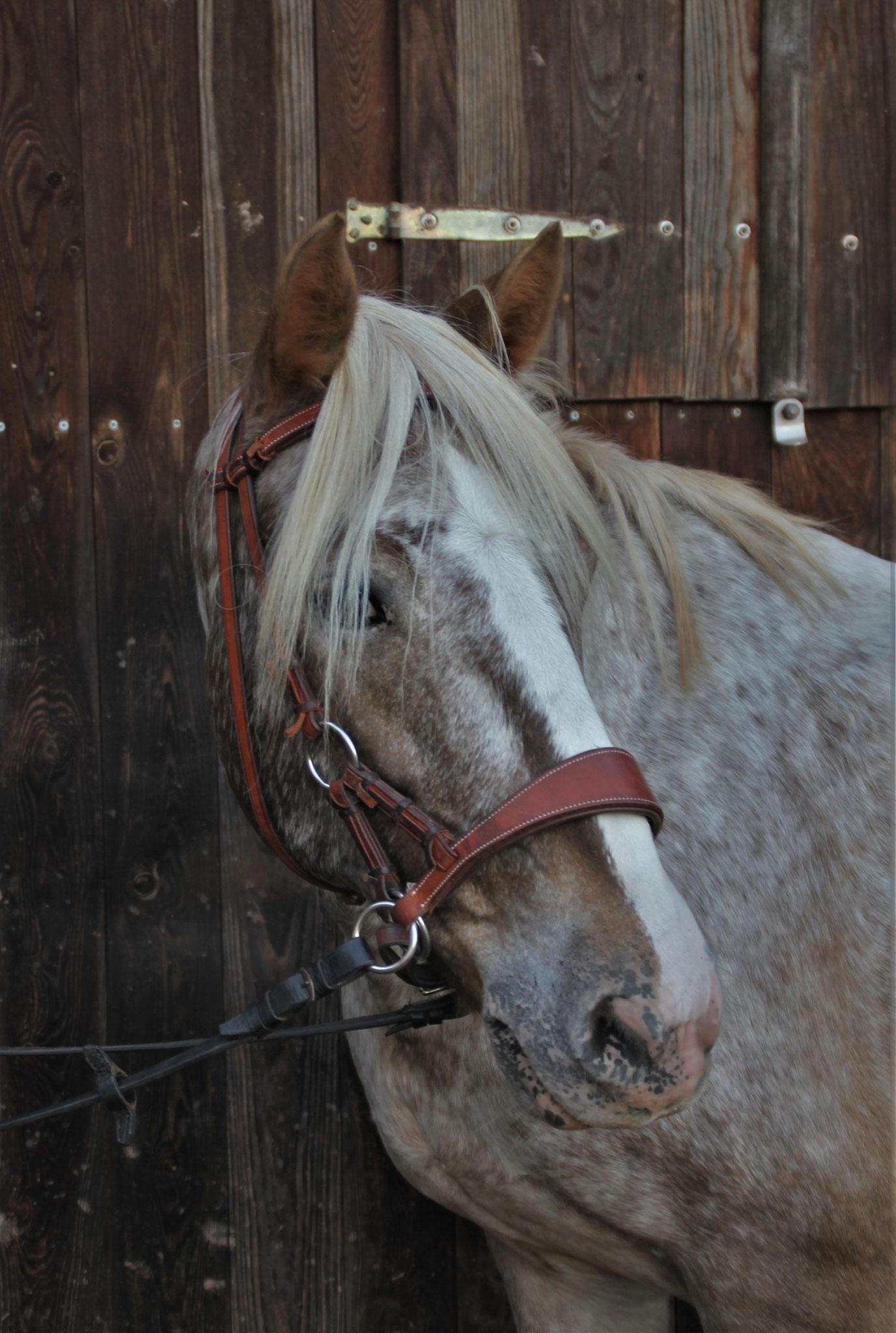 Rubina, geb. 2009, 146 cm. Ein ideales Pony für die Anfänge des Abteilungsreitens, weshalb sie sehr begehrt ist.