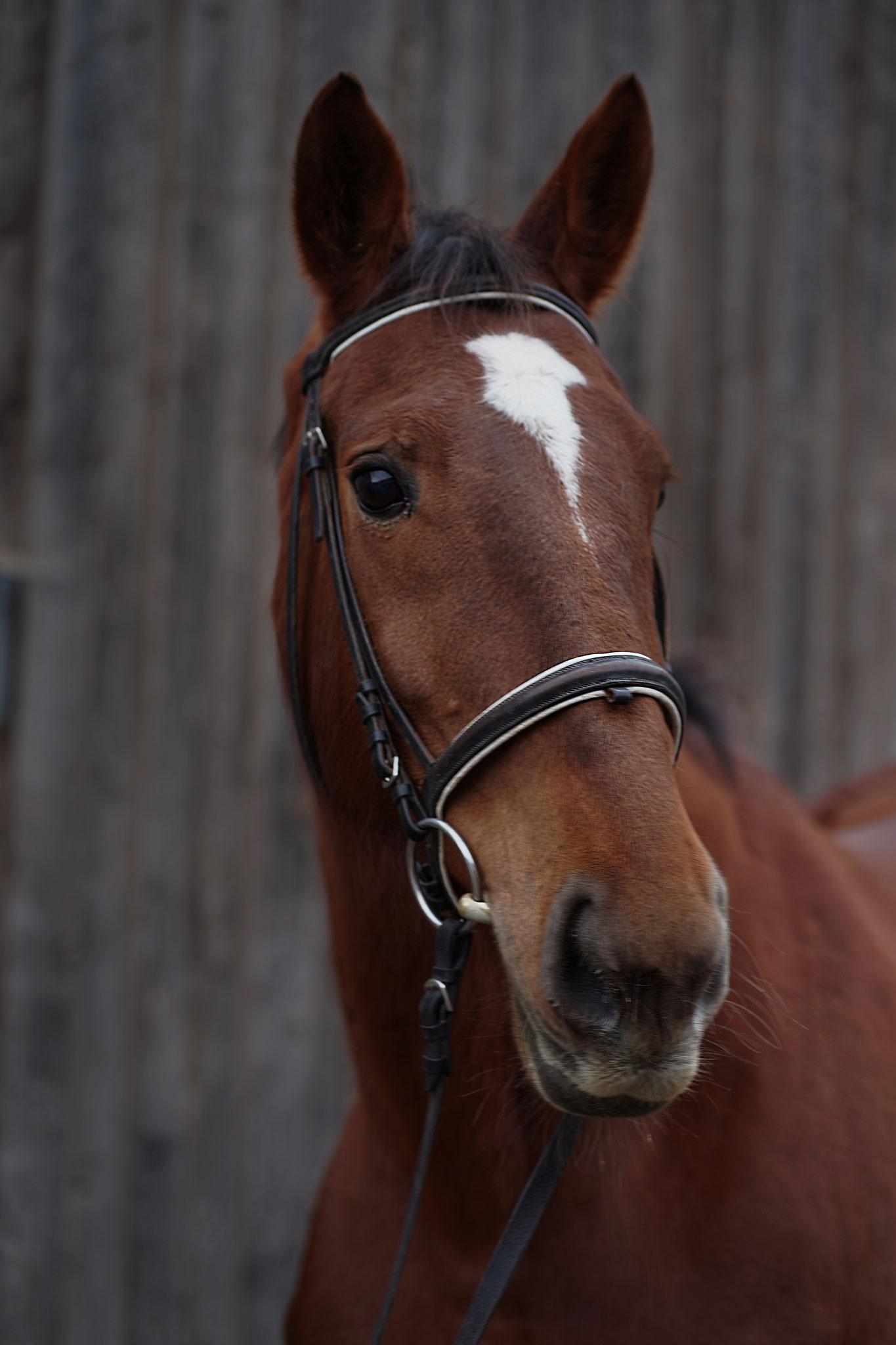 Firetta, geb. 2010, 175 cm. Ein sehr eifriges Mädchen, welches ihr Talent vor allem als Springpferd zeigt.