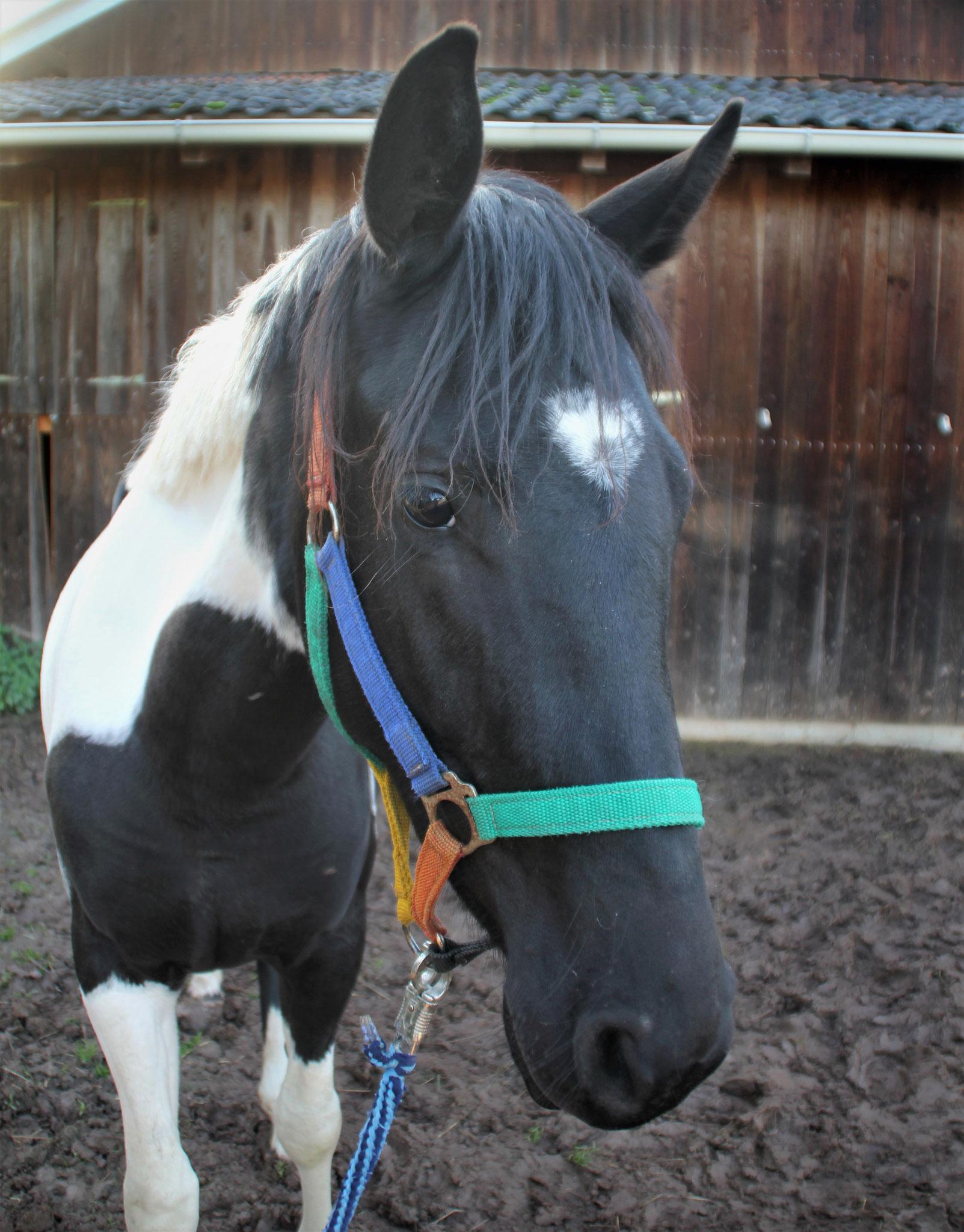 Pina, geb. 2017, im Wachstum. Ein unerschrockenes und neugieriges, kleines Pferd, welches im Moment noch seine Kindheit genießt.