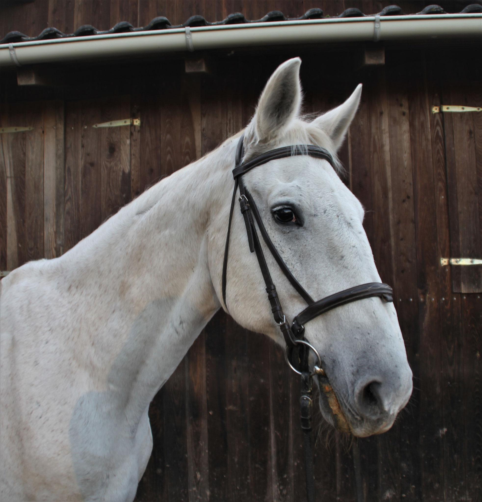 Kastor, geb. 1995, 169 cm. Ein ehemaliges Springpferd, welches noch immer Hindernisse liebt und im Gelände sehr zuverlässig ist.
