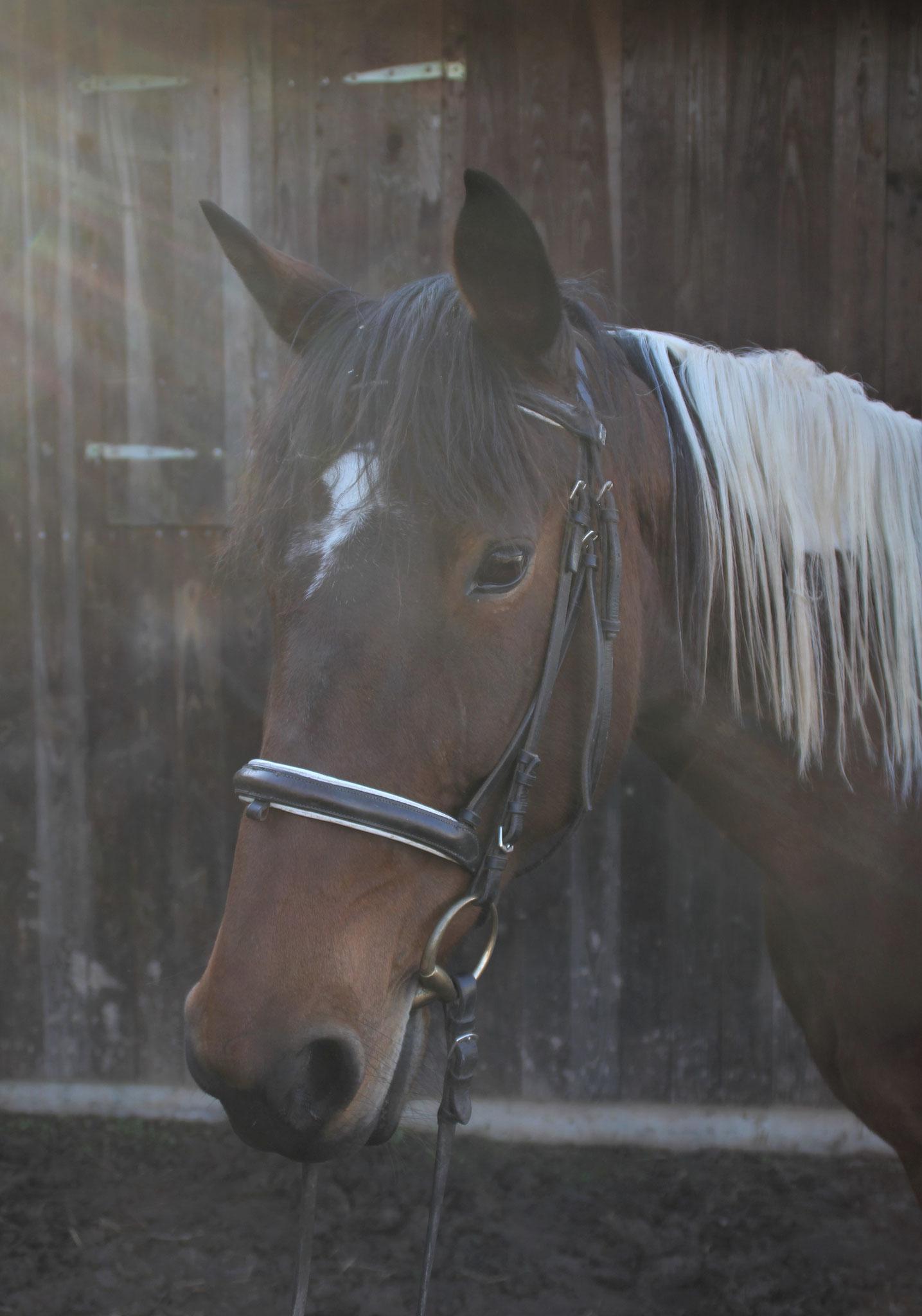 Stella, geb. 2006, 154 cm. Ein sehr liebes, dankbares Geländepferd, das für jede Streicheleinheit zu haben ist.
