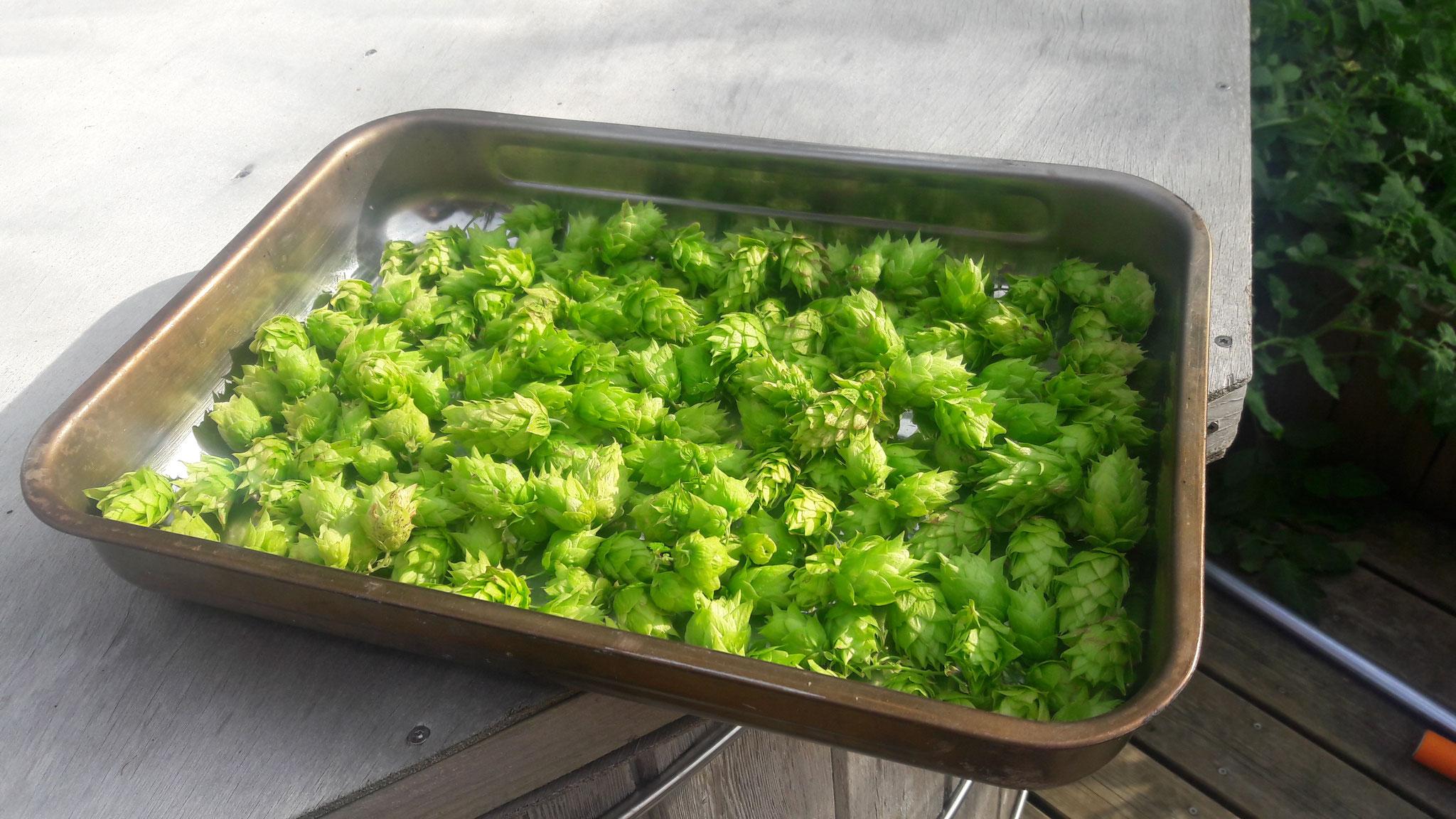 Houblon Chinook récolté à la brasserie