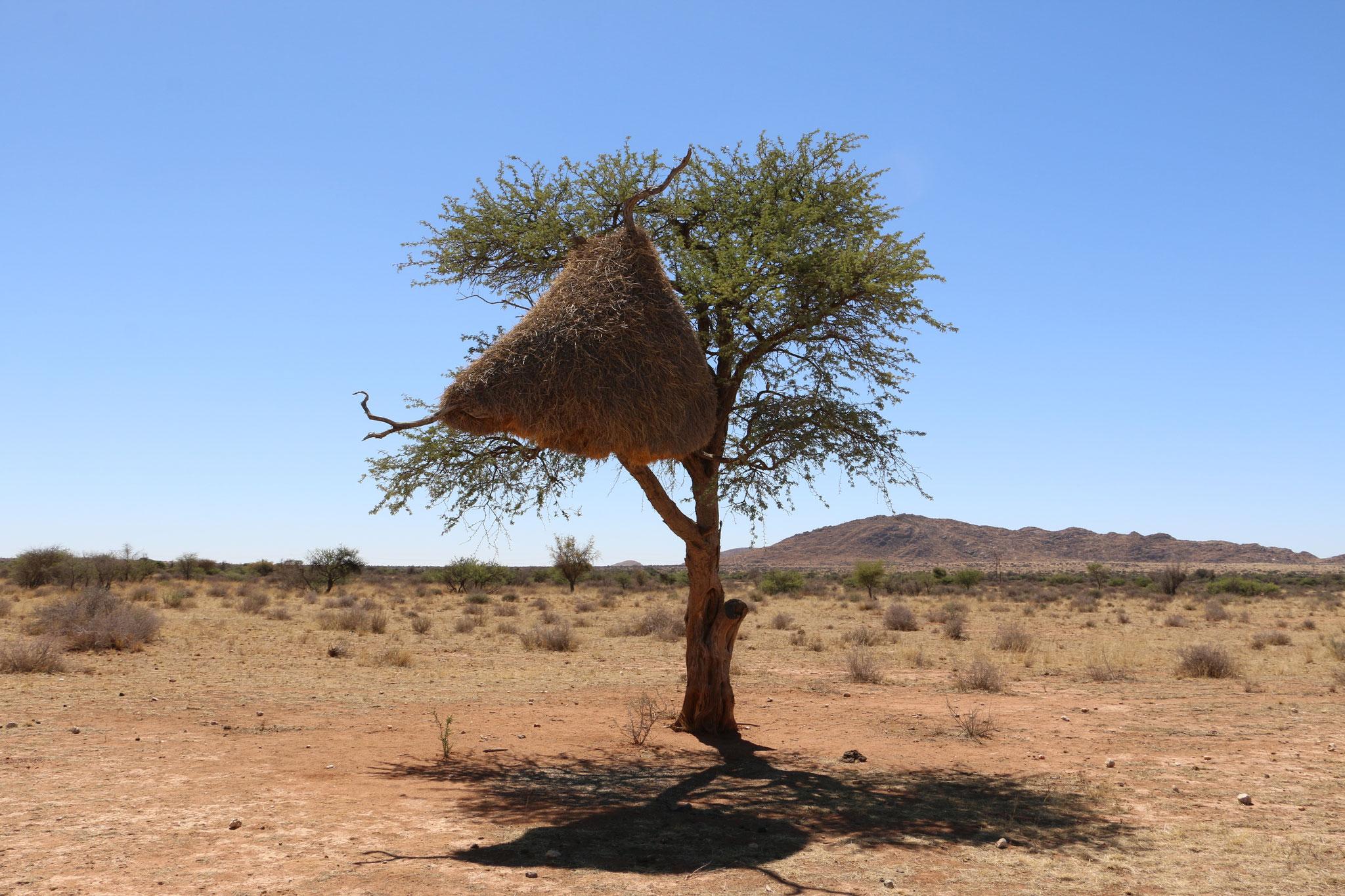 Namibia - Webervogelnest