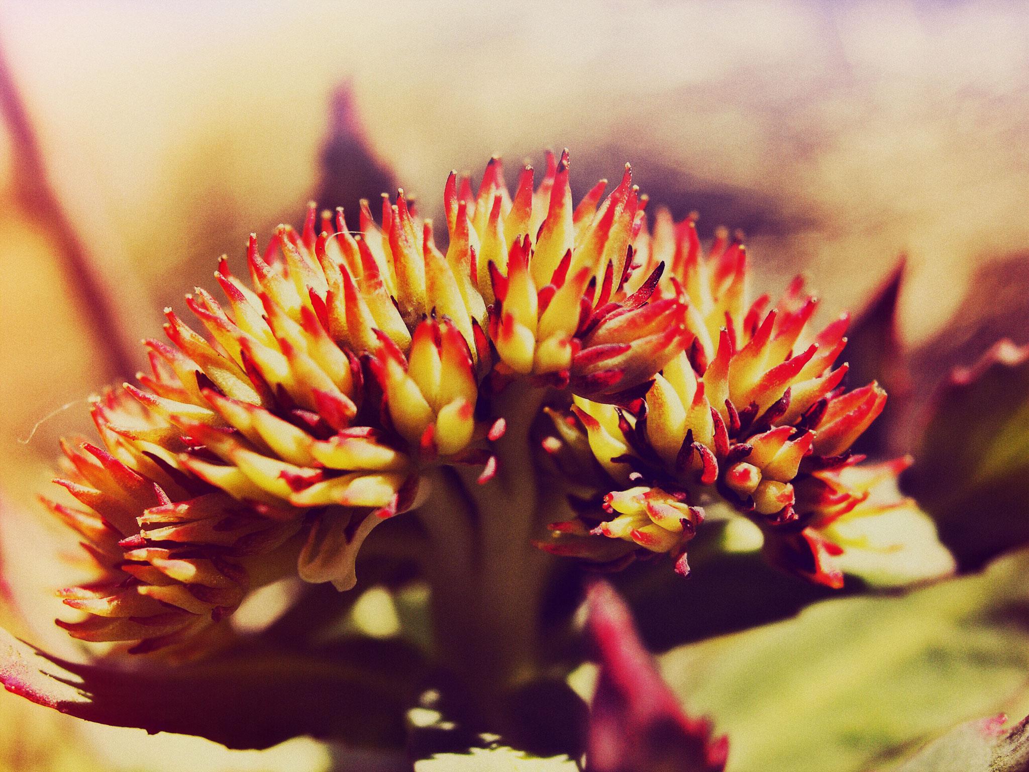 Rhodiola Rosea in voller Blüte
