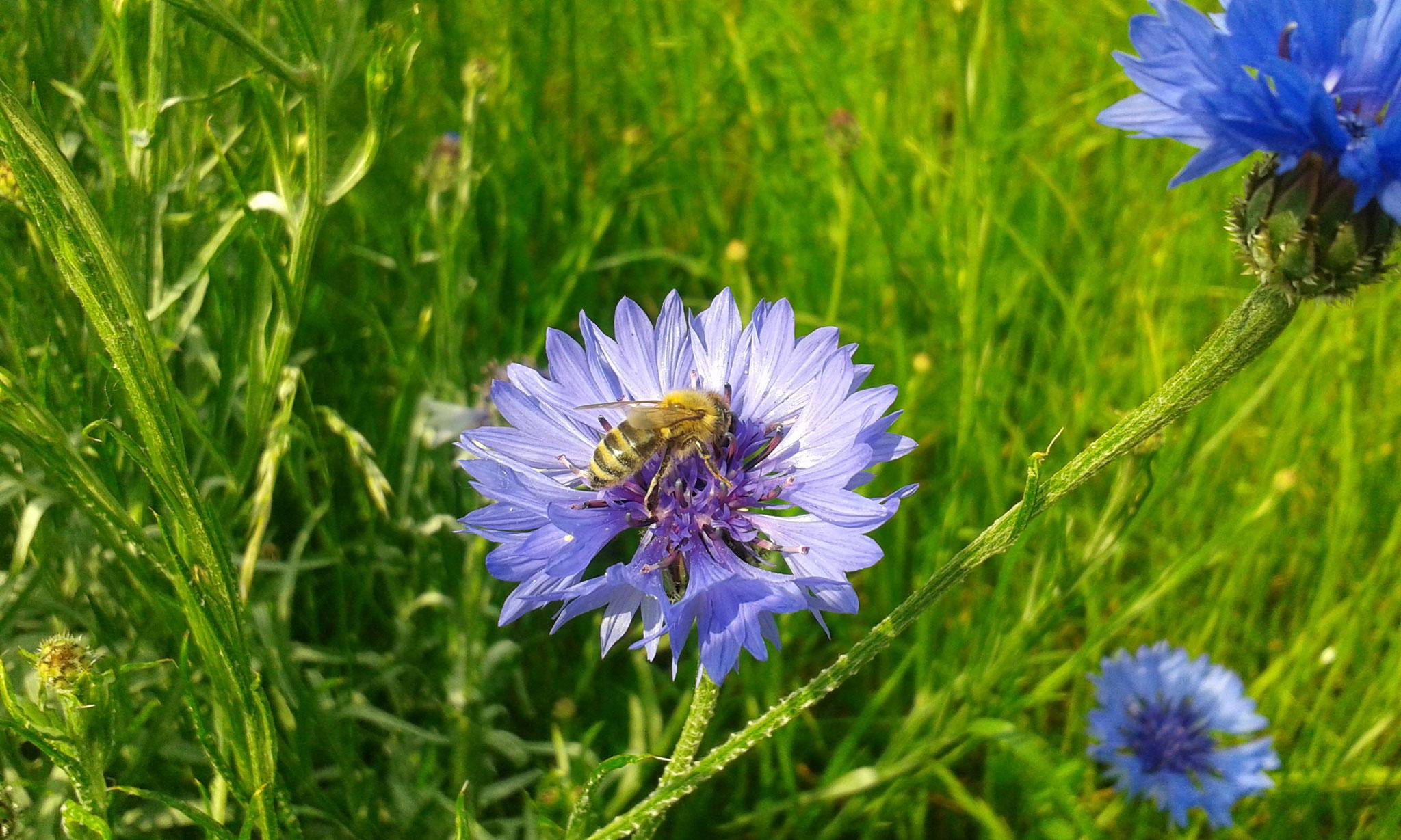 Bienen unterwegs am Vereinsbienenstand (c) Walter Pecker
