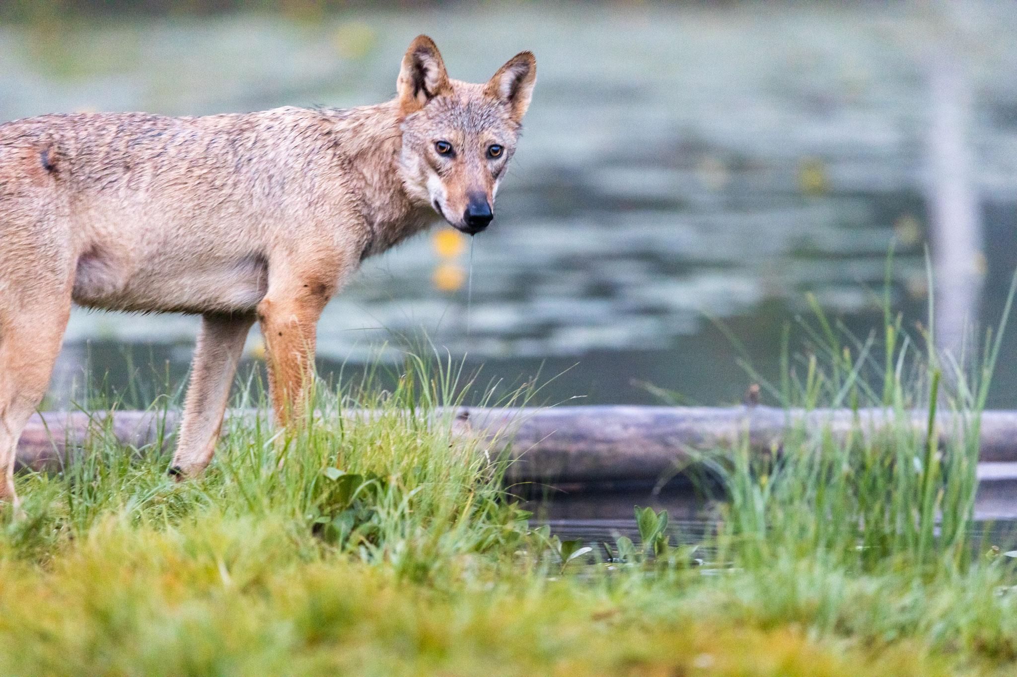Zum Glück hat der Wolf im Gegensatz zu Bär und Vielfraß auch mal stillgehalten.