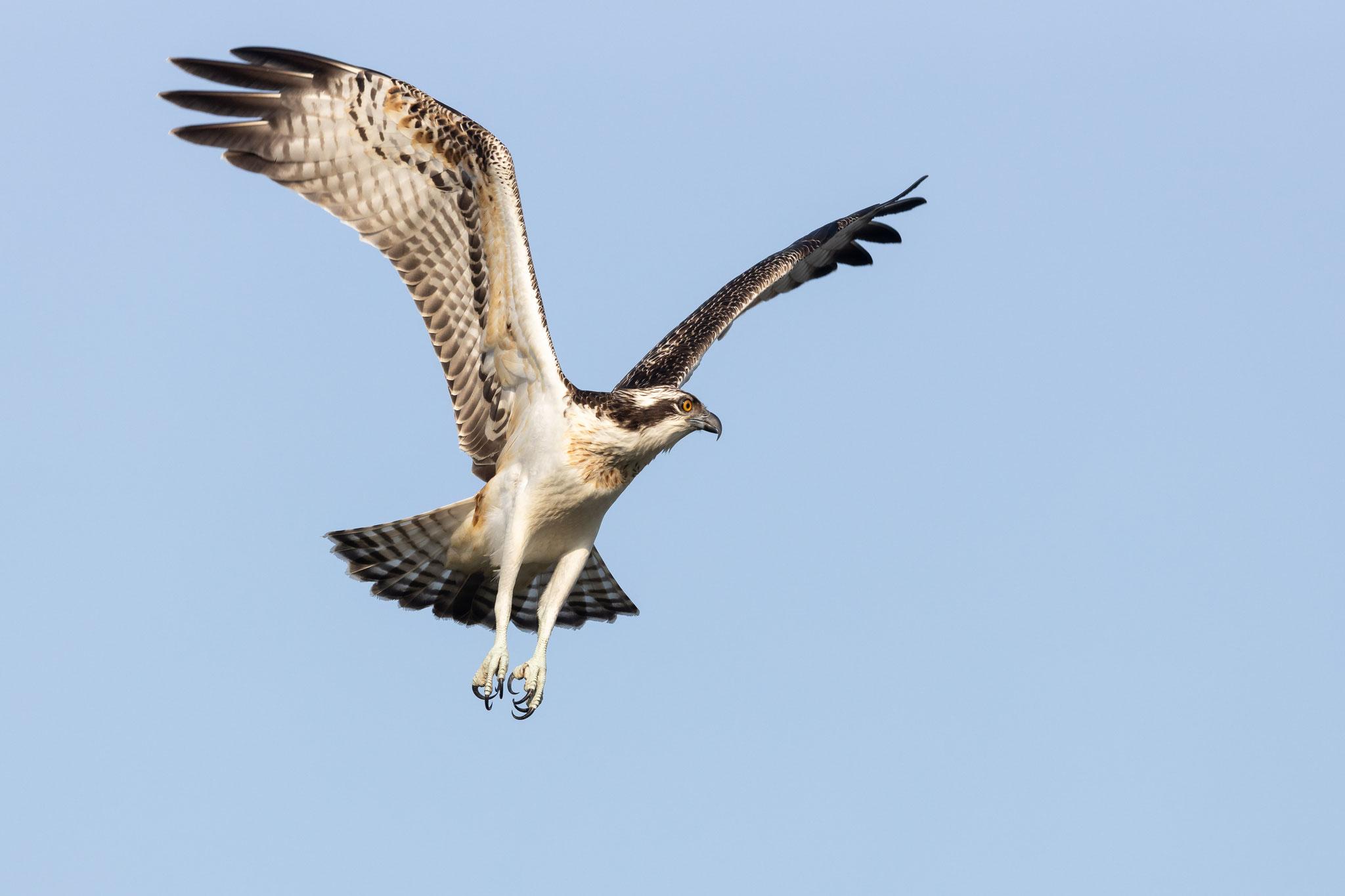 Ein Meister der Luftakrobatik