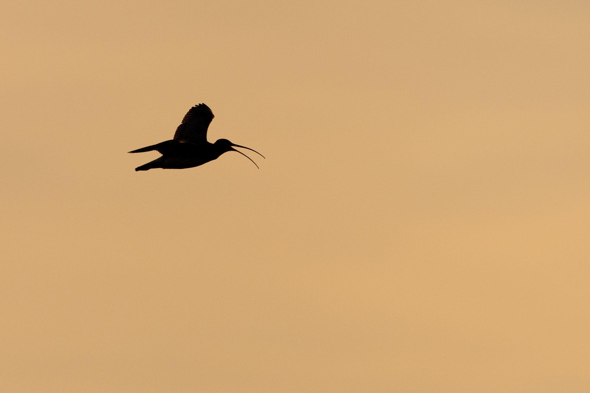 Balzflug des Großen Brachvogels
