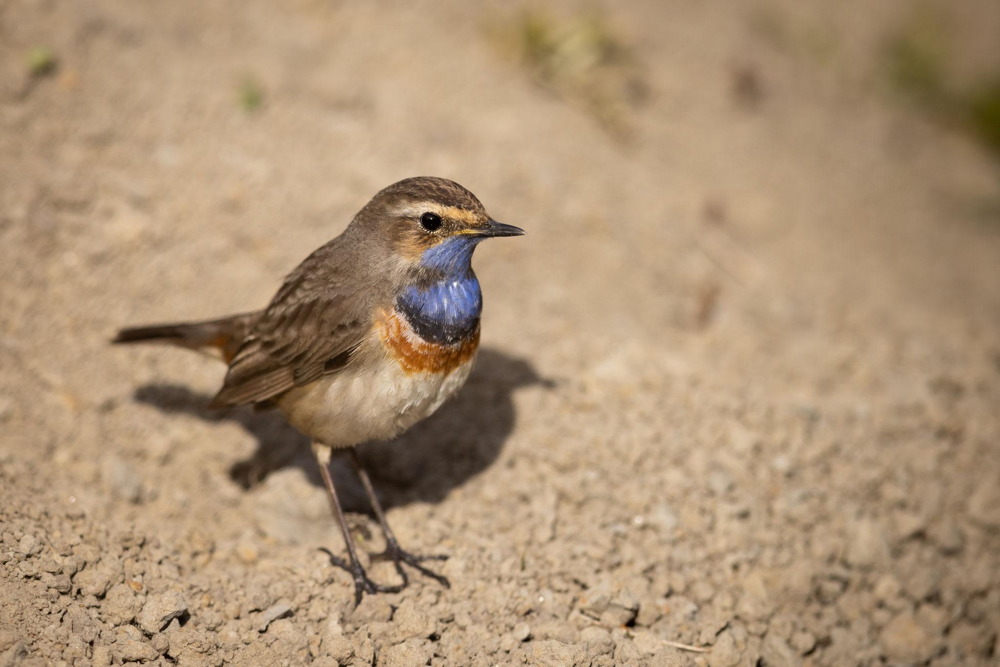 An und für sich ist das Blaukehlchen ein Bodenbewohner, wo es sich seine Nahrung sucht