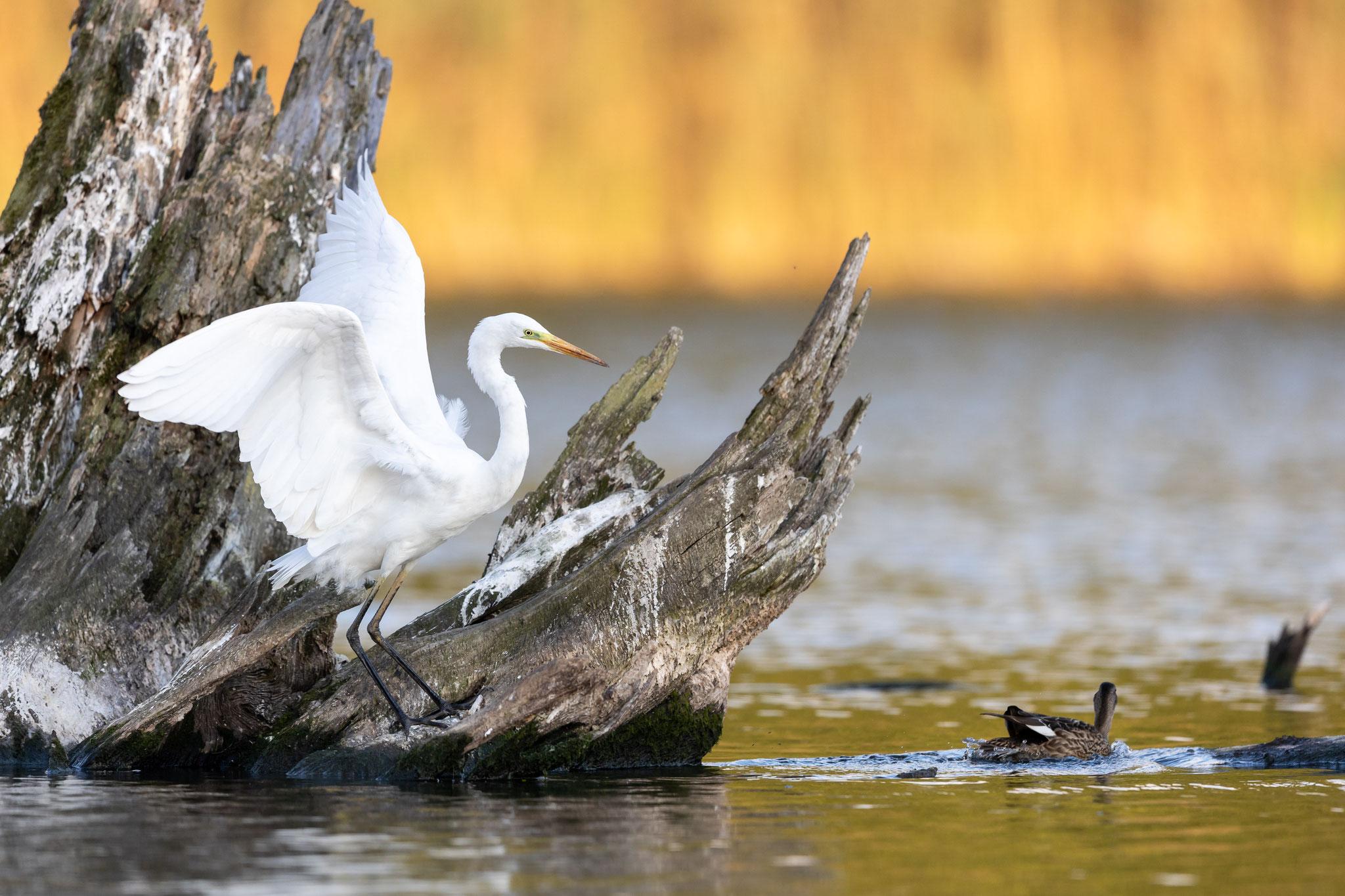 Das sehen auch andere Vögel so: der Silberreiher...