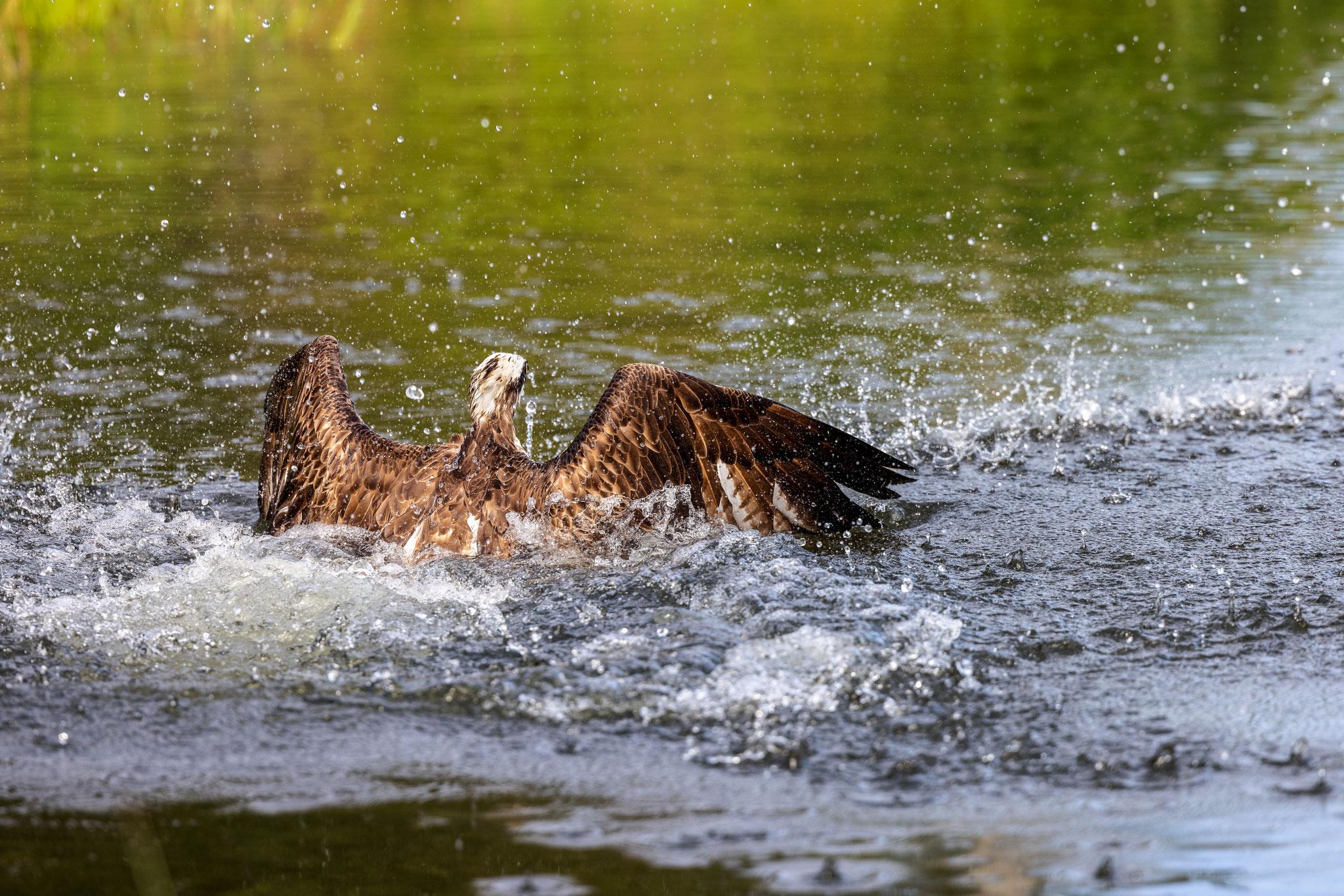 Der Vogel muss sich richtig anstrengen, um aus dem Wasser zu kommen.