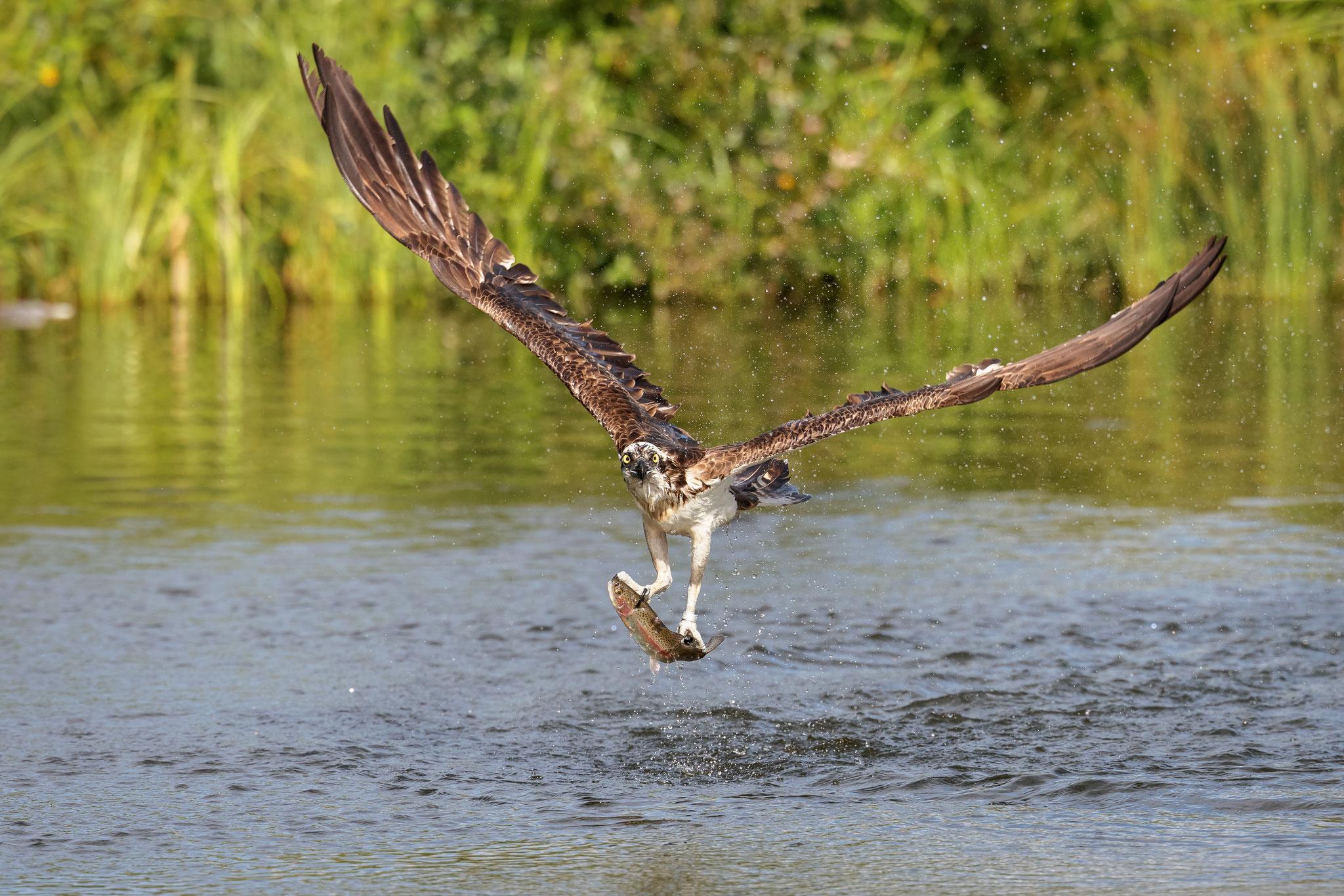 Bei einem Eigengewicht um 1,5 kg hat er an einer ca. 400gr schweren Forelle schon ordentlich zu tragen.