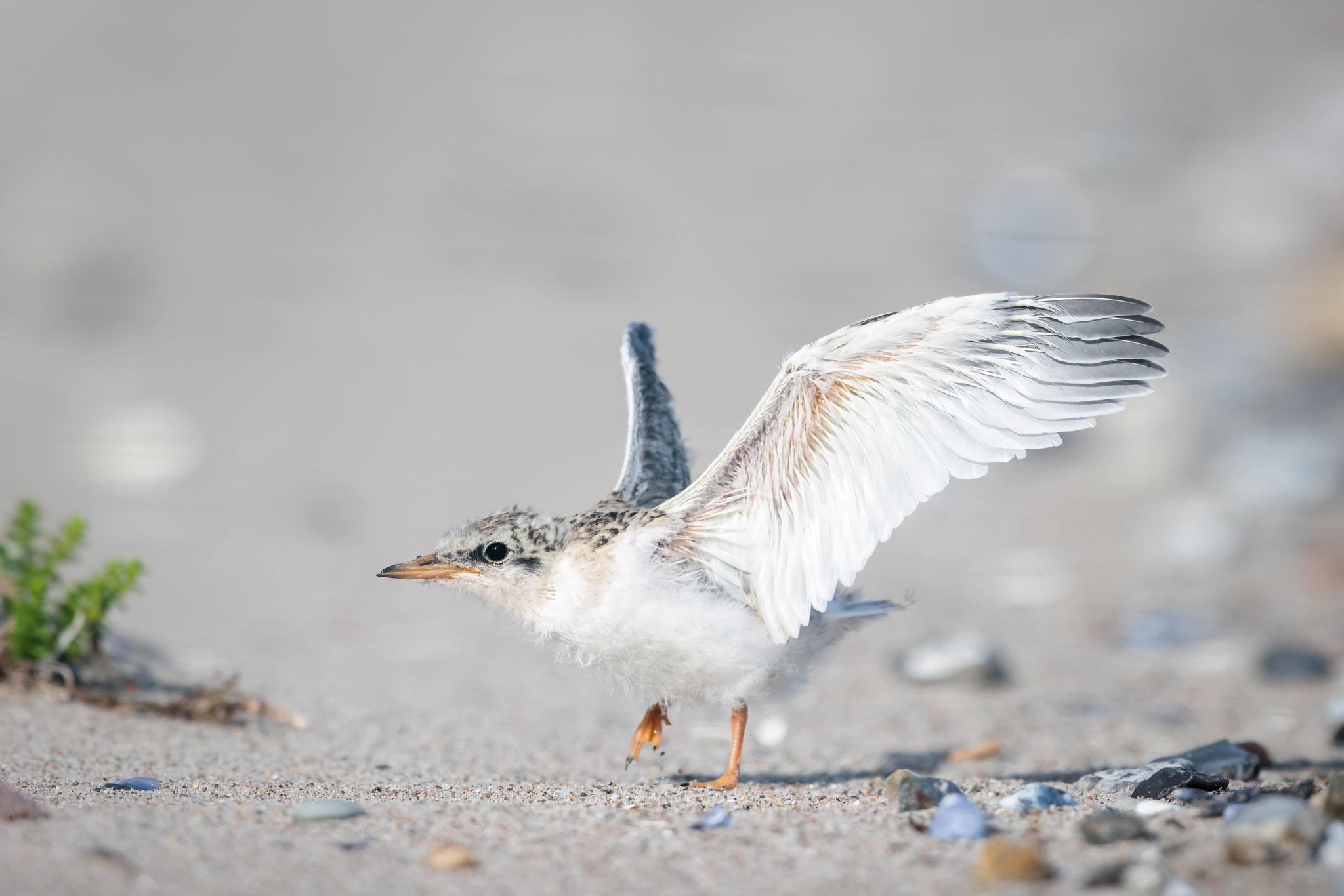 Als kleiner Vogel hat man's nicht leicht. Mit dem Fliegen will es noch nicht so recht klappen.