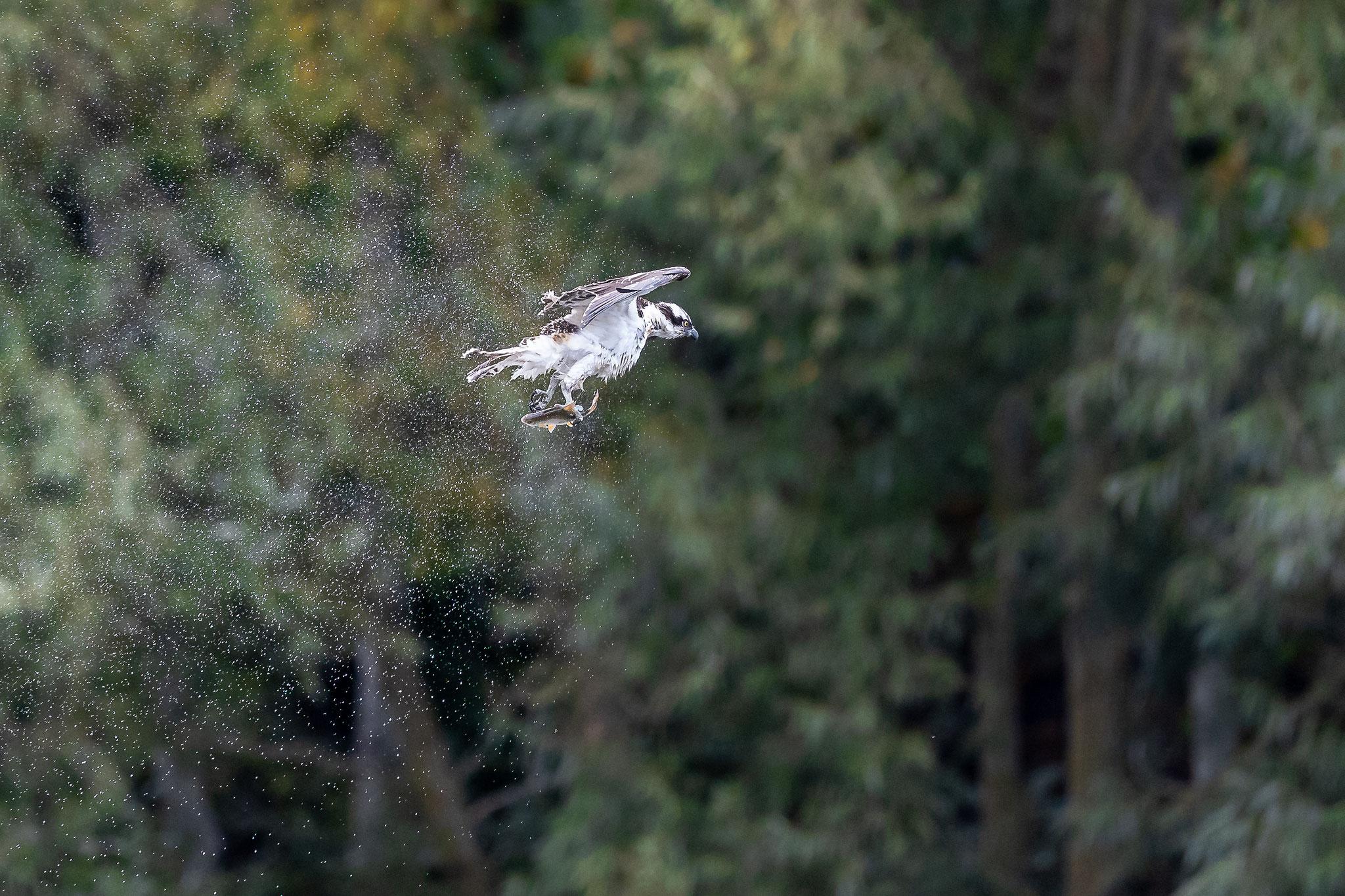 """...dann schüttelt der Fischadler das Wasser aus den Federn.  Beachte: Der Fisch ist noch nicht in """"korrekter"""" Position!"""
