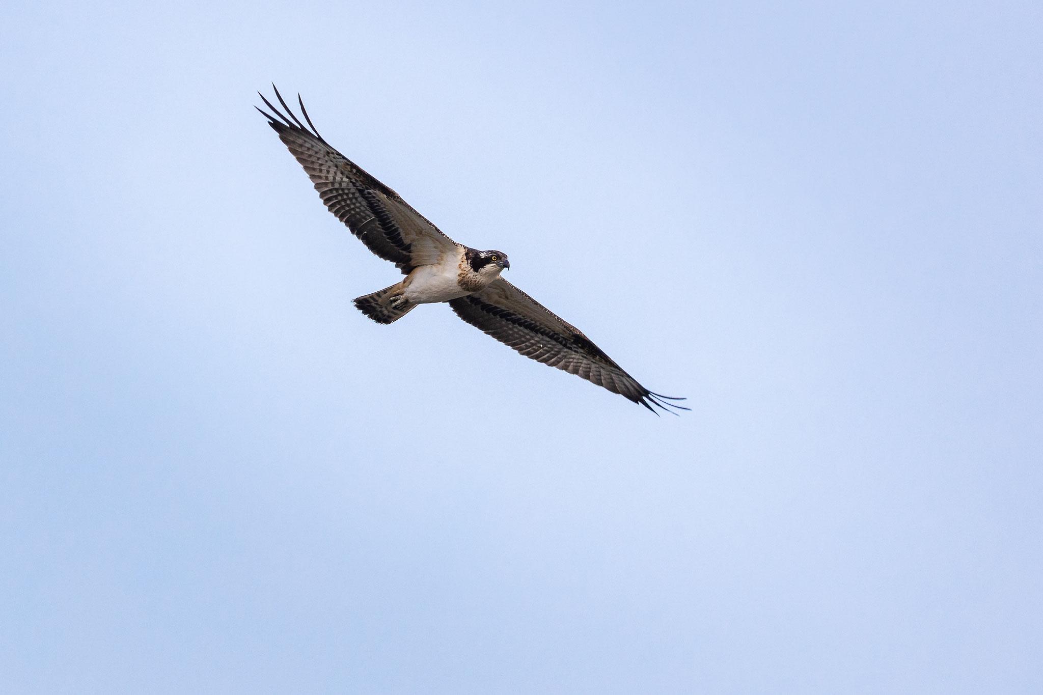 Der Fischadler im Suchflug