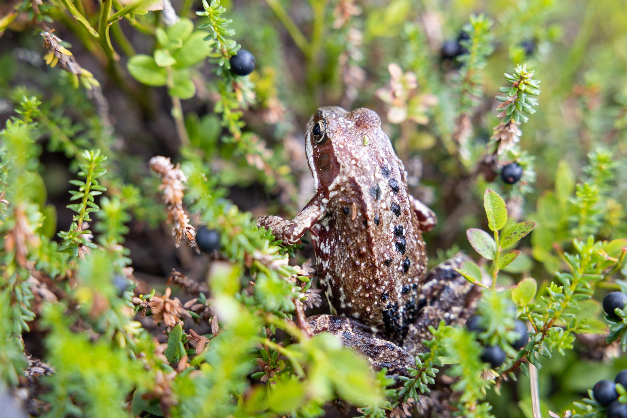 Auch die ganz kleinen wie dieser Frosch im Fjell.