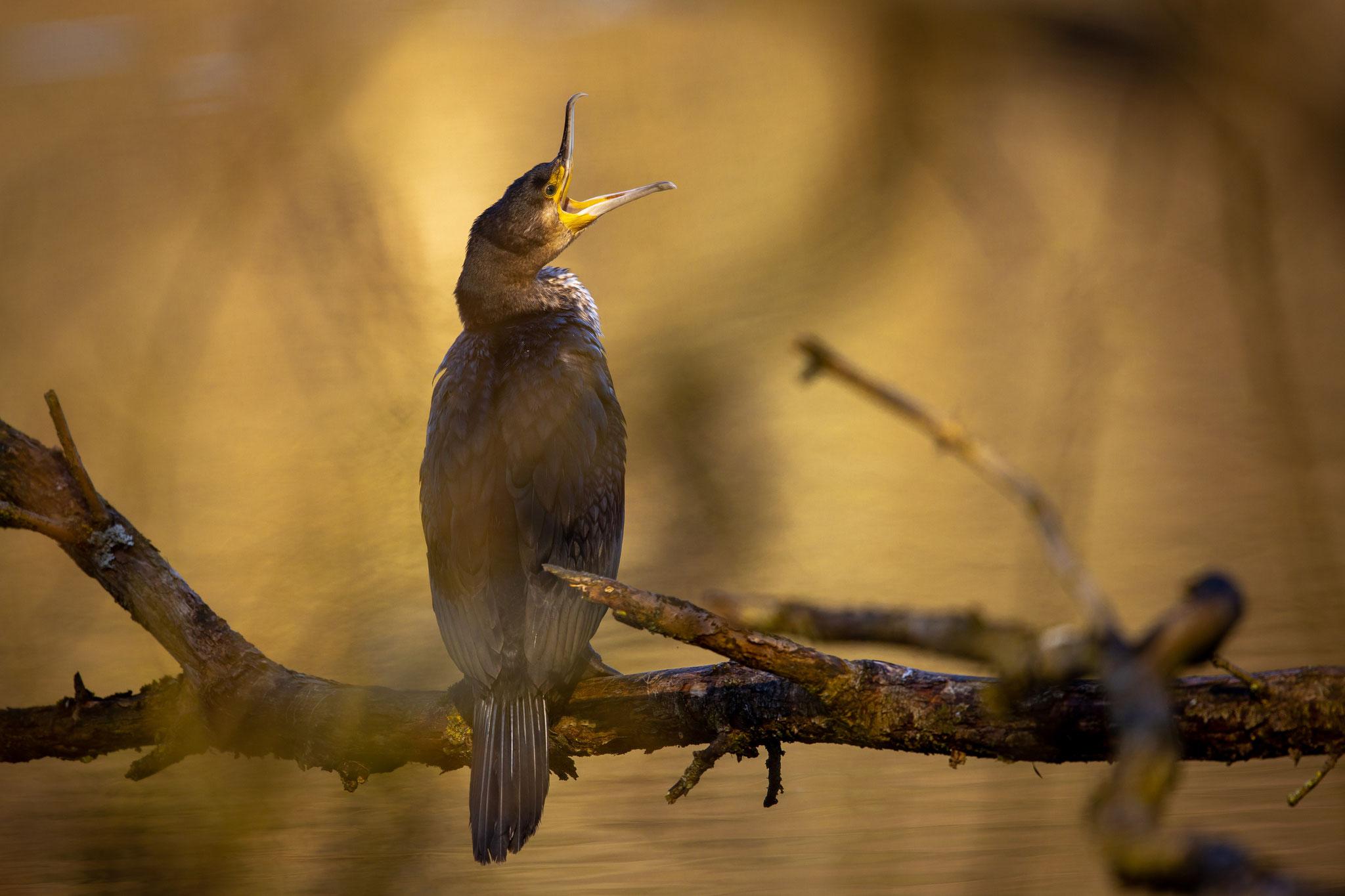 Der Kormoran singt zwar nicht, zeigt aber sehr schön, daß Vögel von den Dinosauriern abstammen