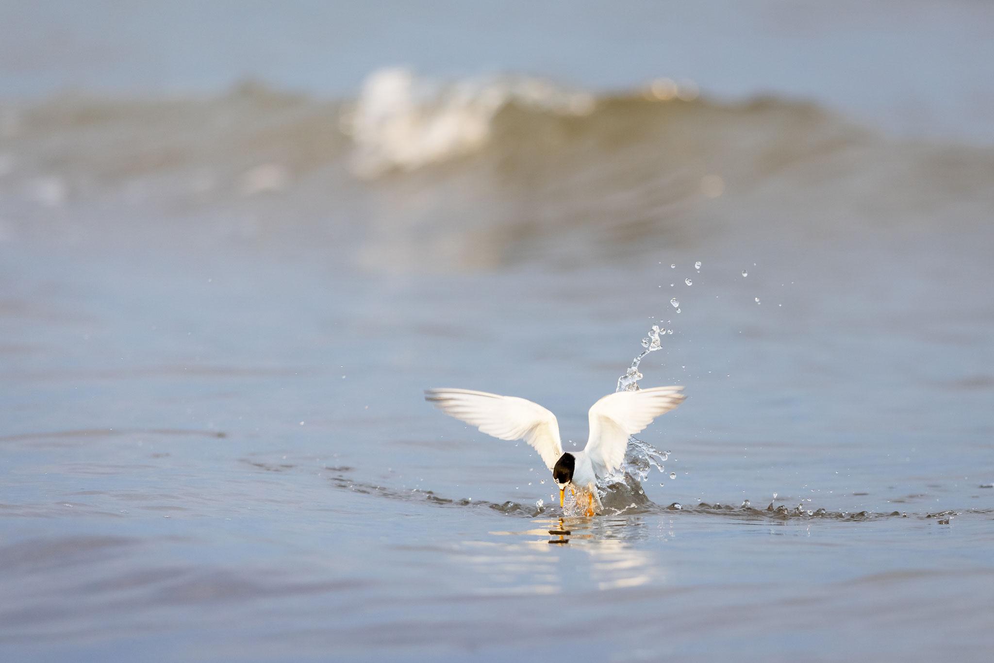Die nur etwa amselgroße Zwergseeschwalbe kämpft sich aus dem Wasser