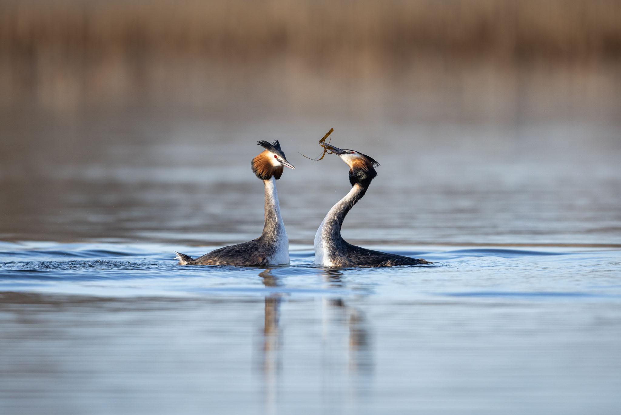 Der Pinguintanz geht dann über in eine Abfolge anmutiger Kopfbewegungen.