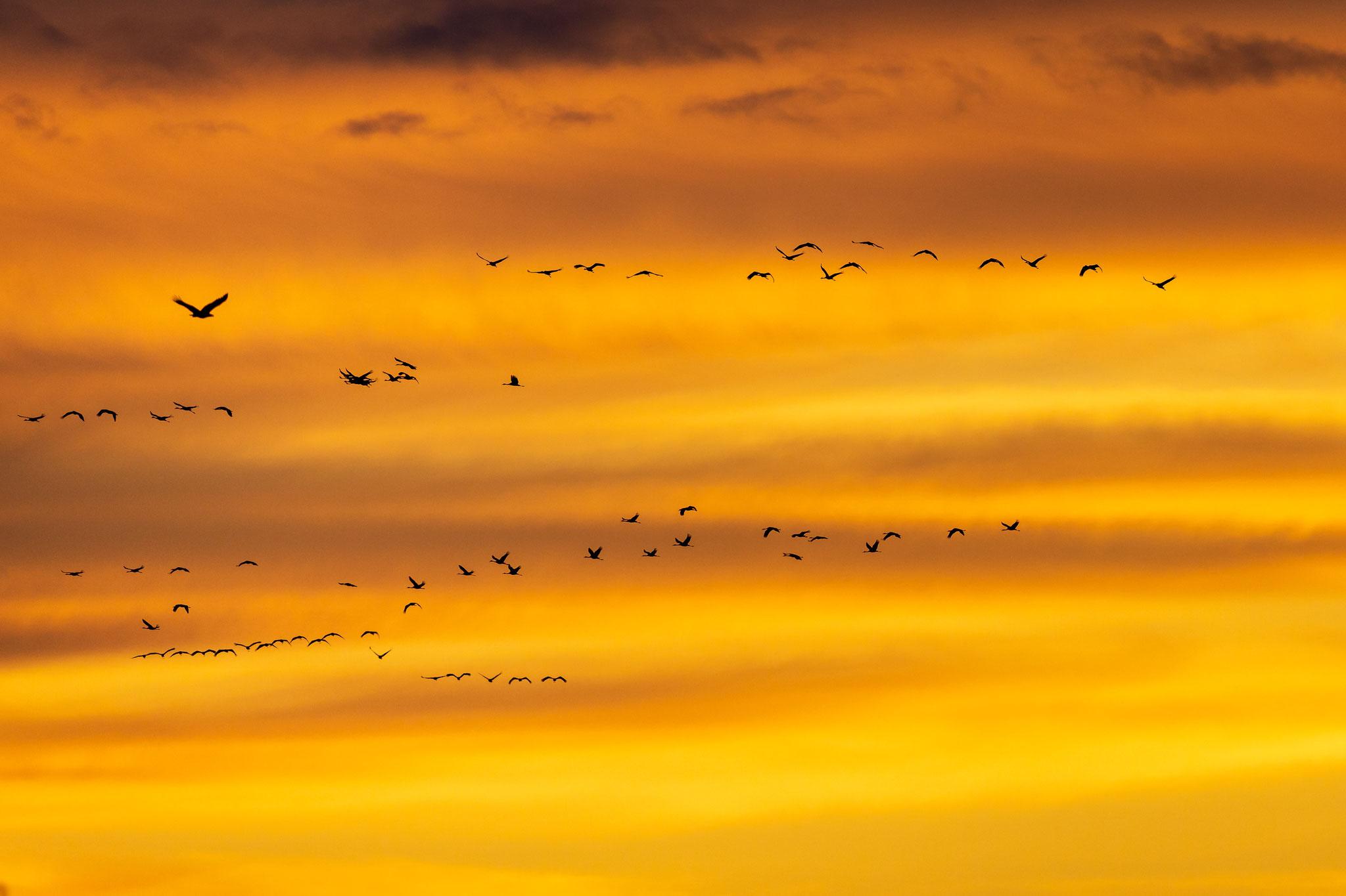 Die Kraniche bieten ein tolles Naturschauspiel, wenn sie bei Sonnenuntergang einfliegen. Links außen zusätzlich ein Seeadler!