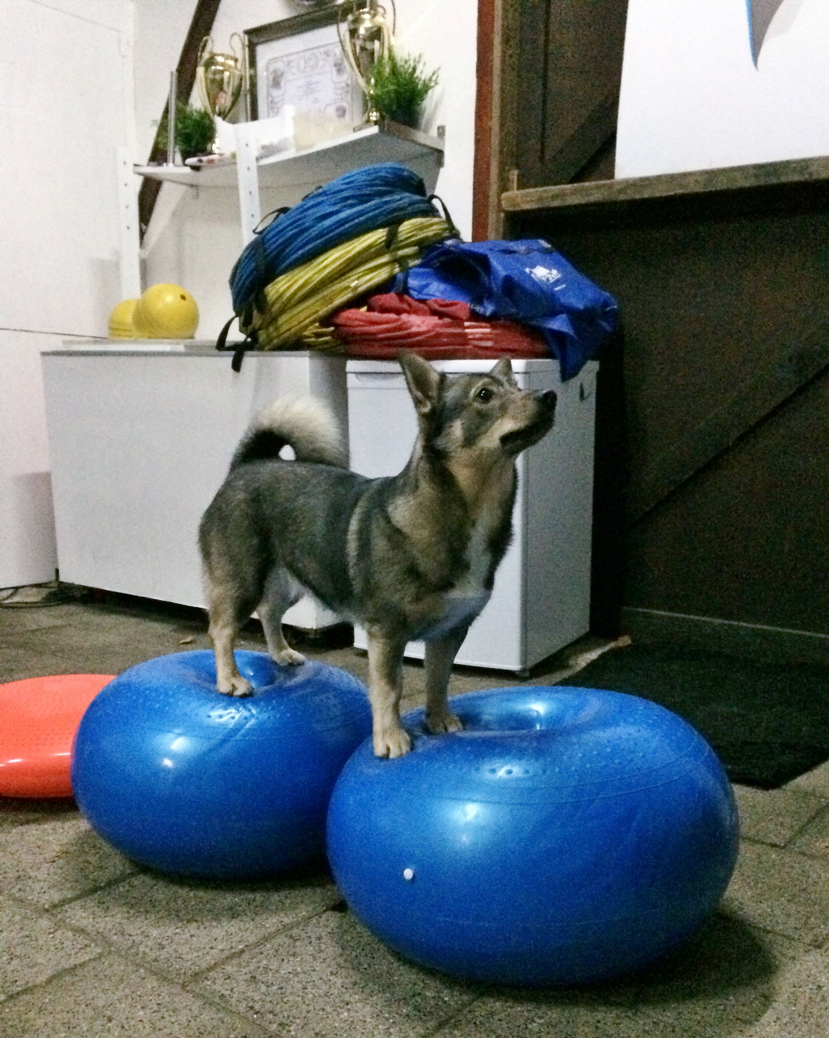 Niike studeert voor circushond
