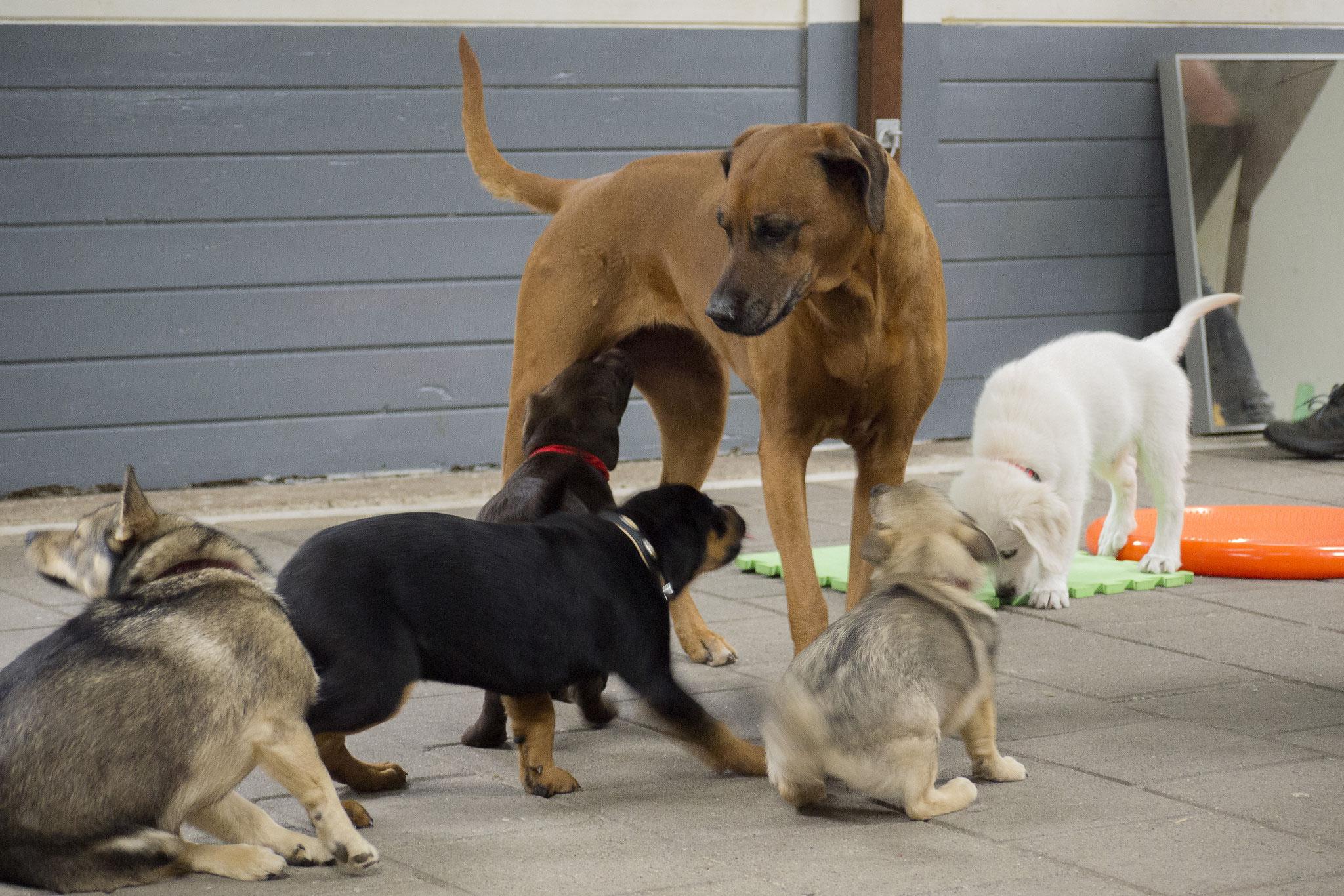 Socialiseren in de puppyles