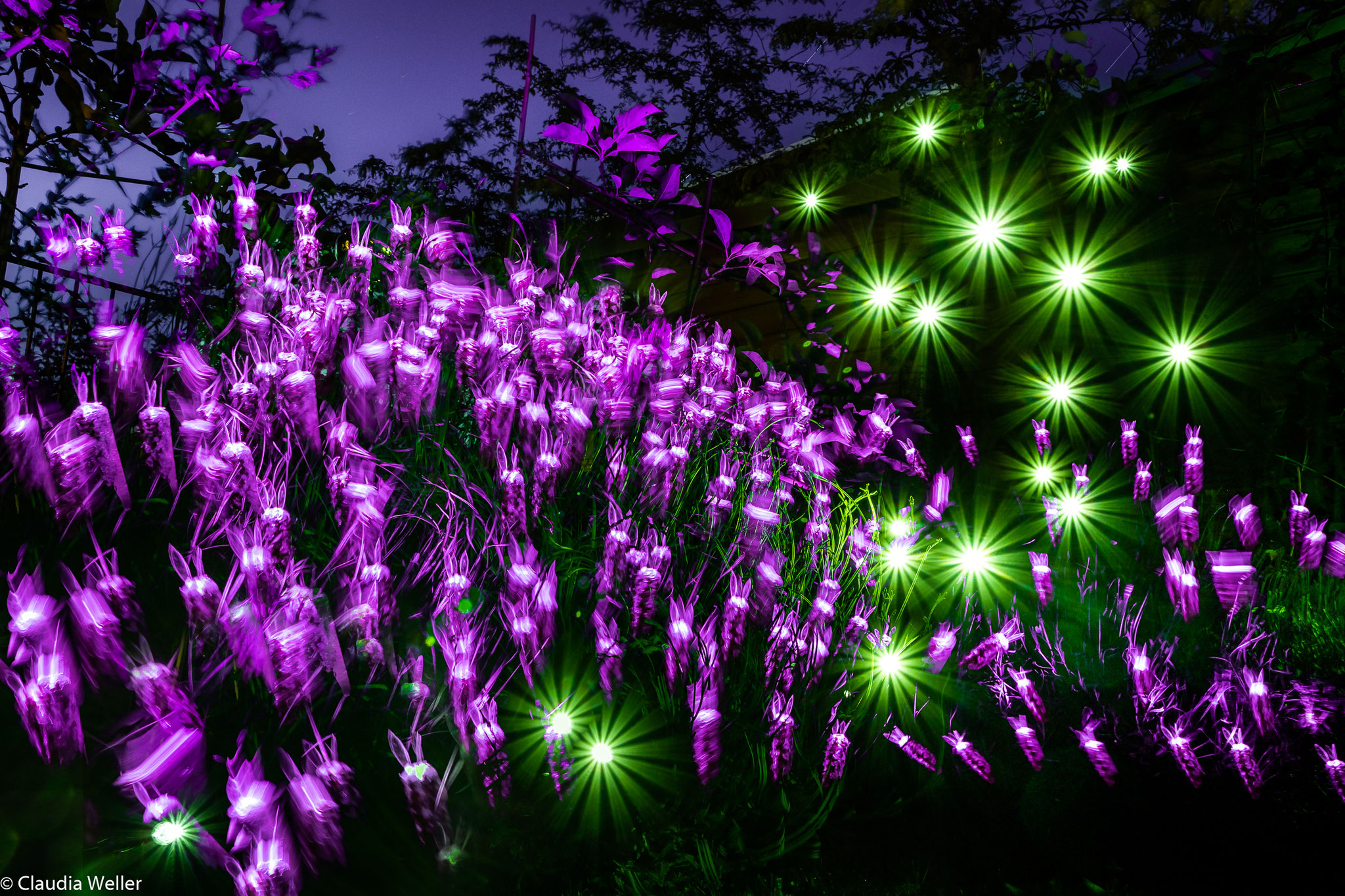 Lavendelblömkes im Garten