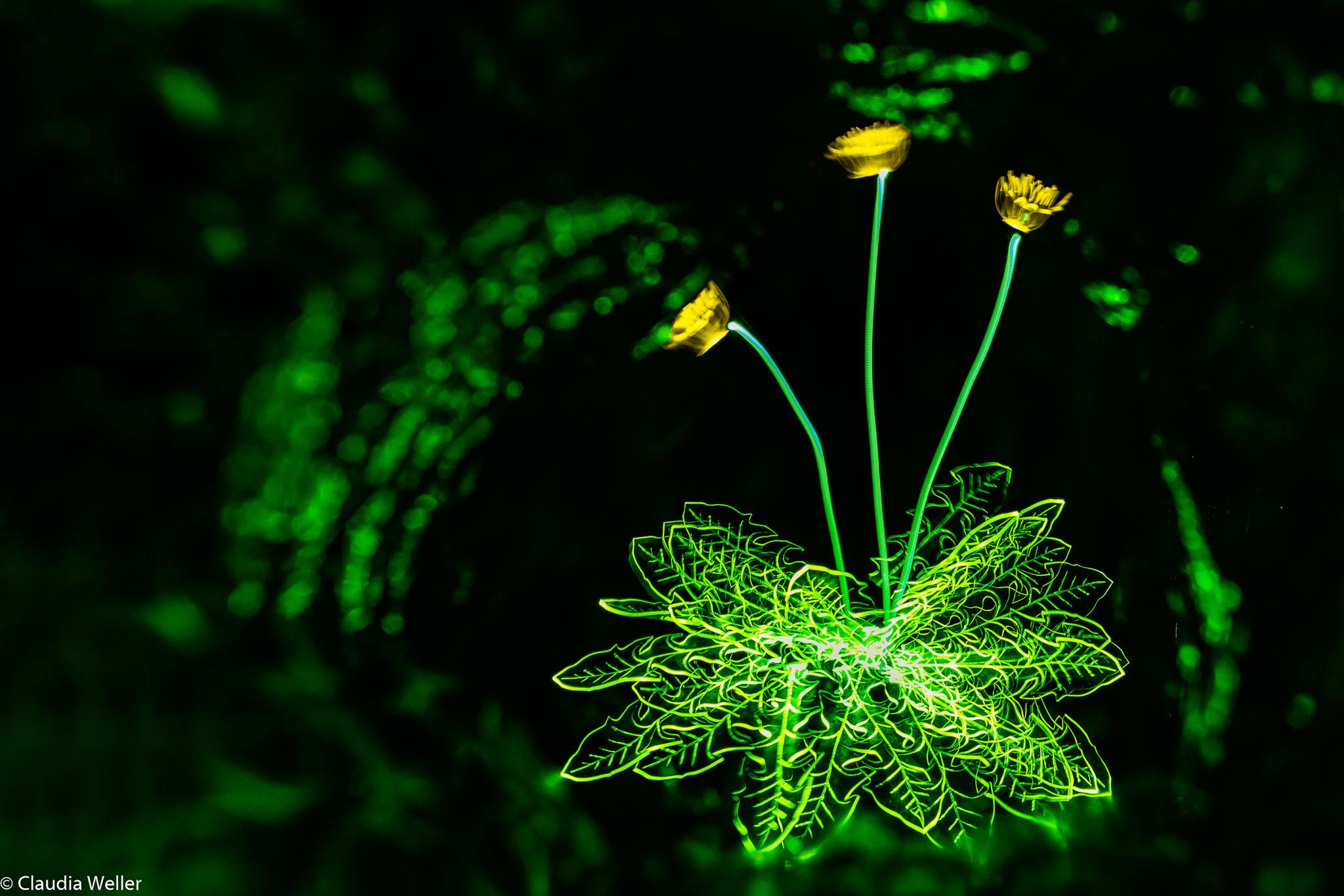 Blooming dandelion