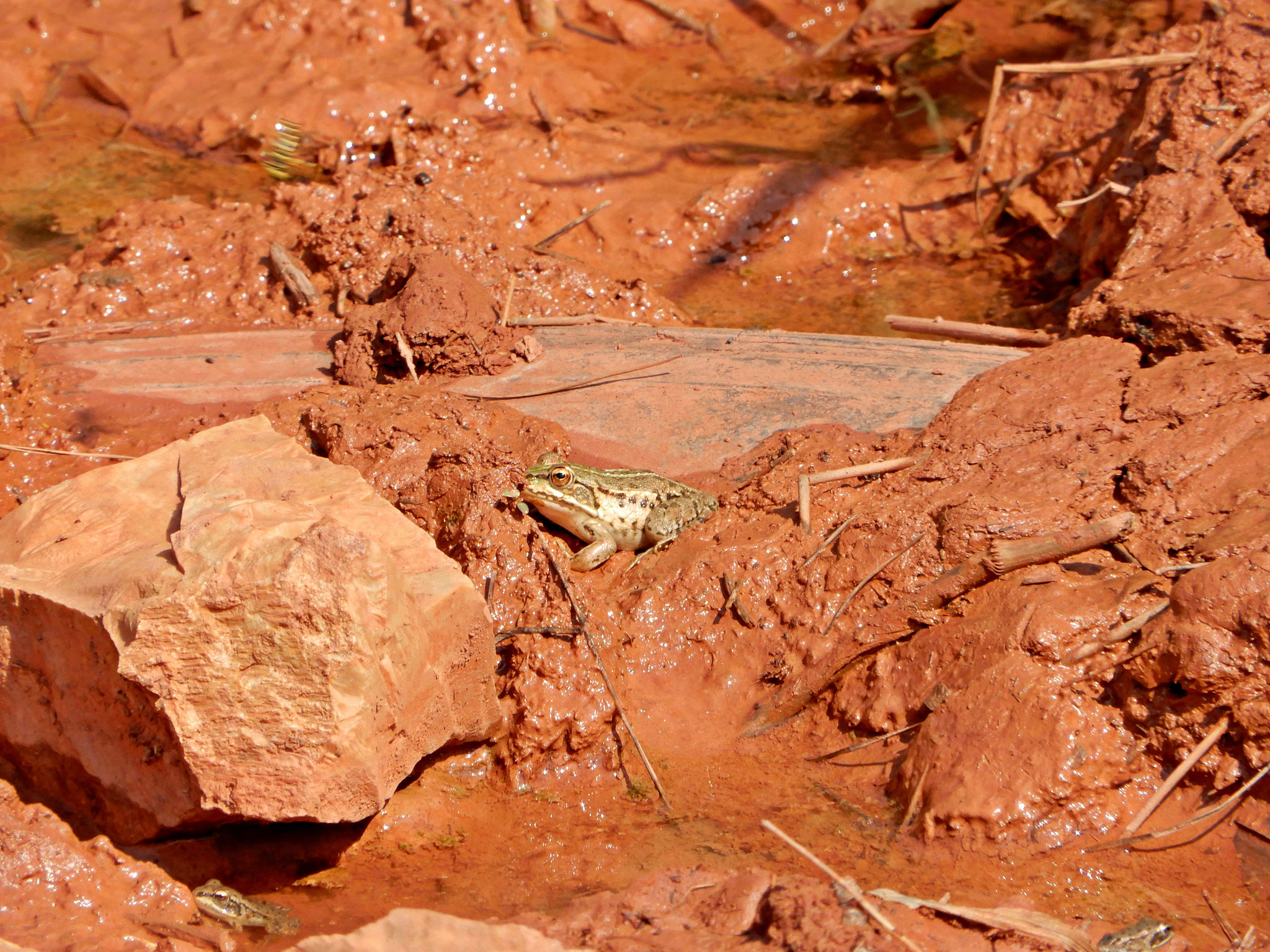 A green frog hopping through a bauxite pond