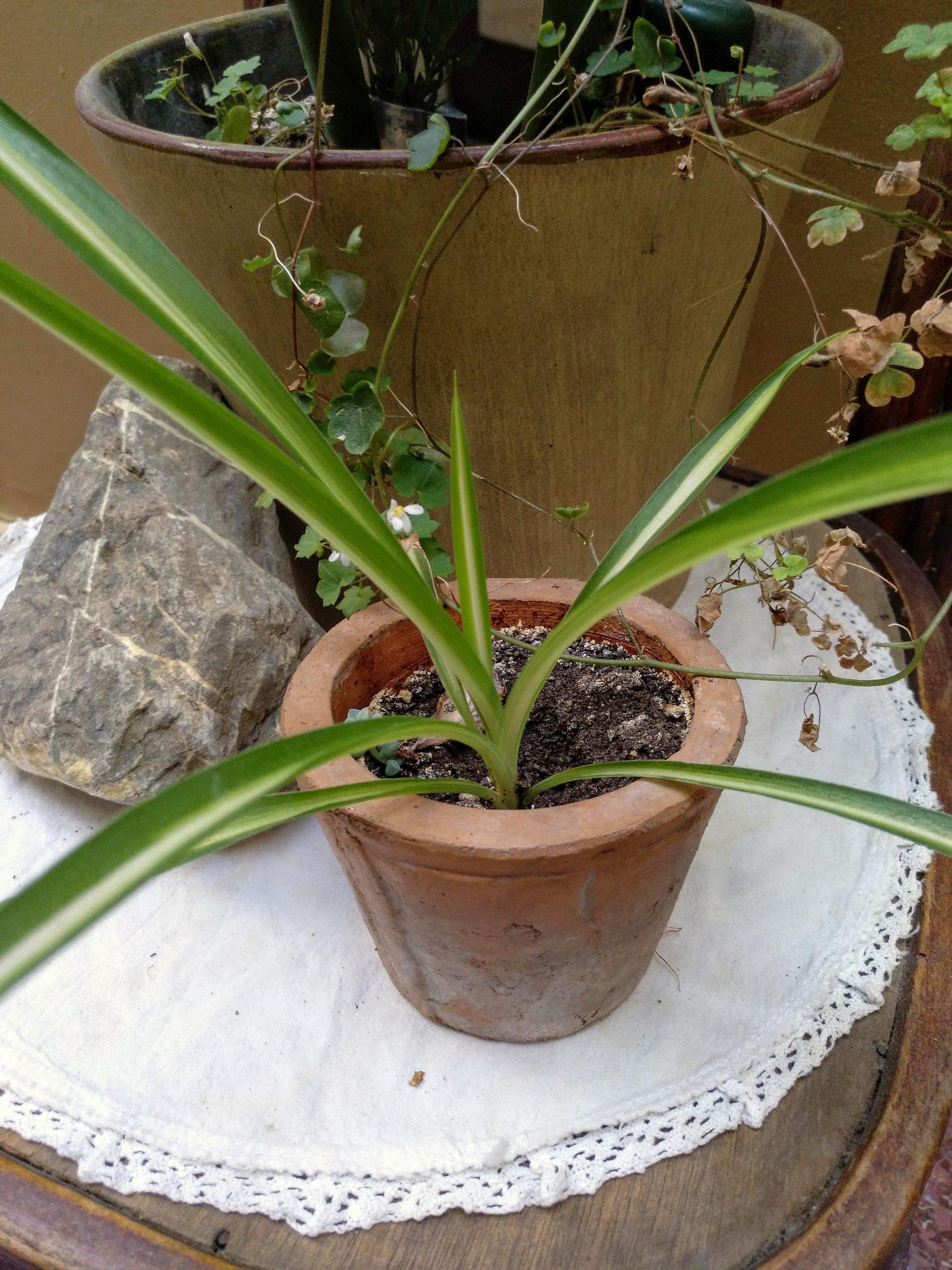 Chlorophytum (Cintas)