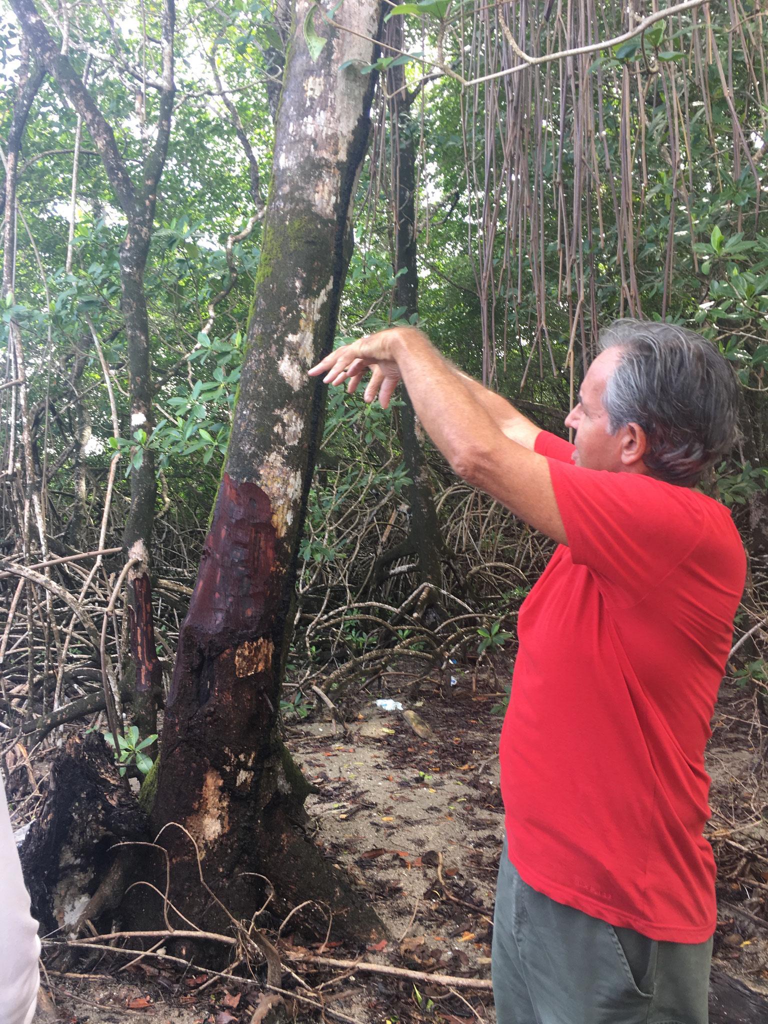 Erklärungen zu den Bäumen und dem Gehölze der  Mangroven-Lagune