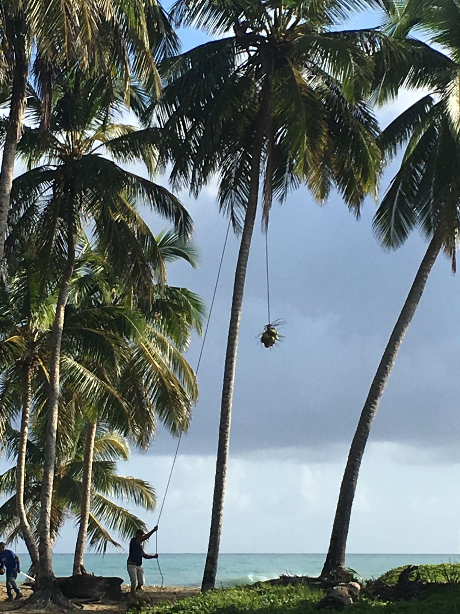 Kokosnus-Abtransport von der Palme