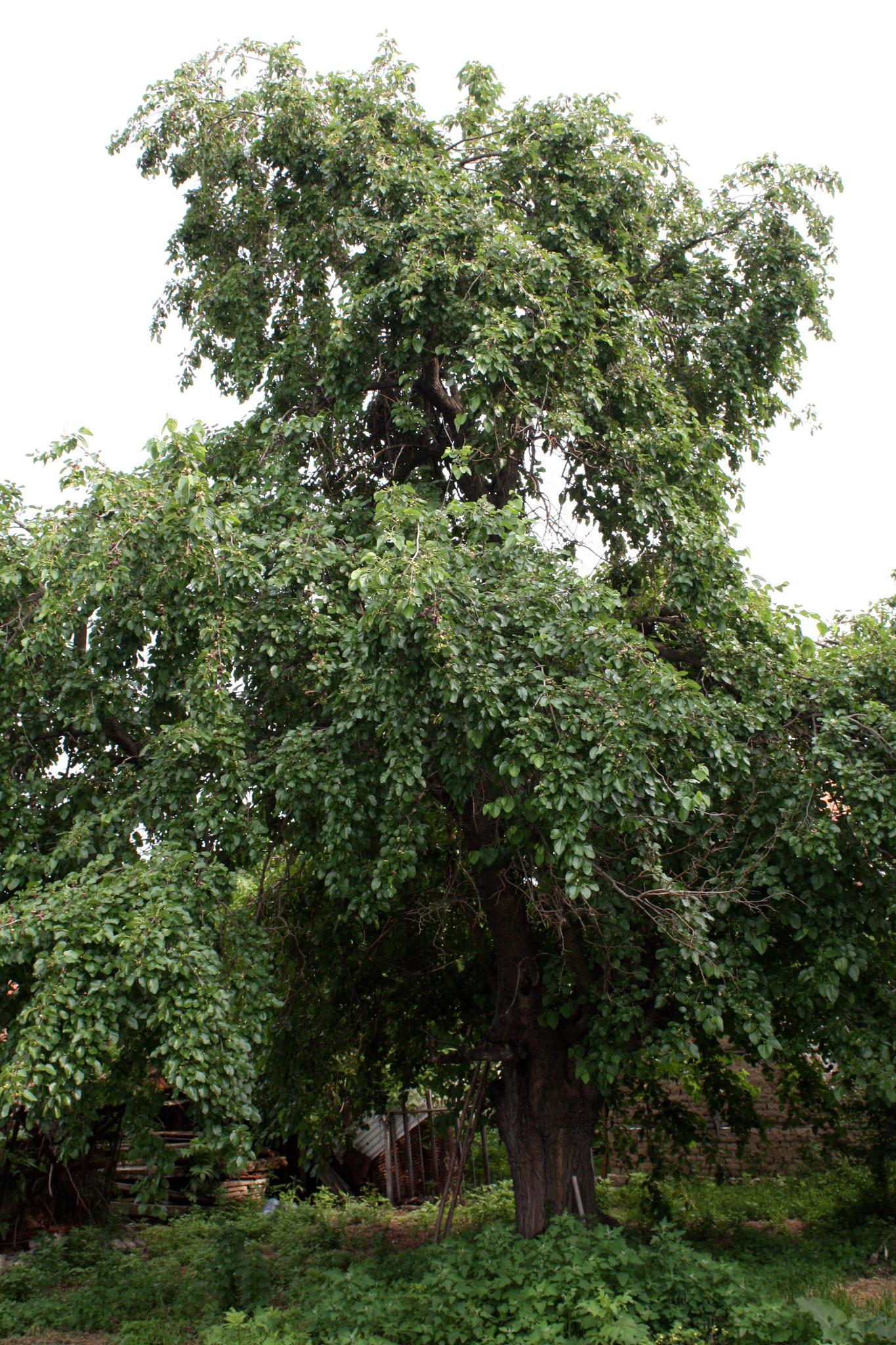 Auf so einen Maulbeerbaum kletterte Zachäus.