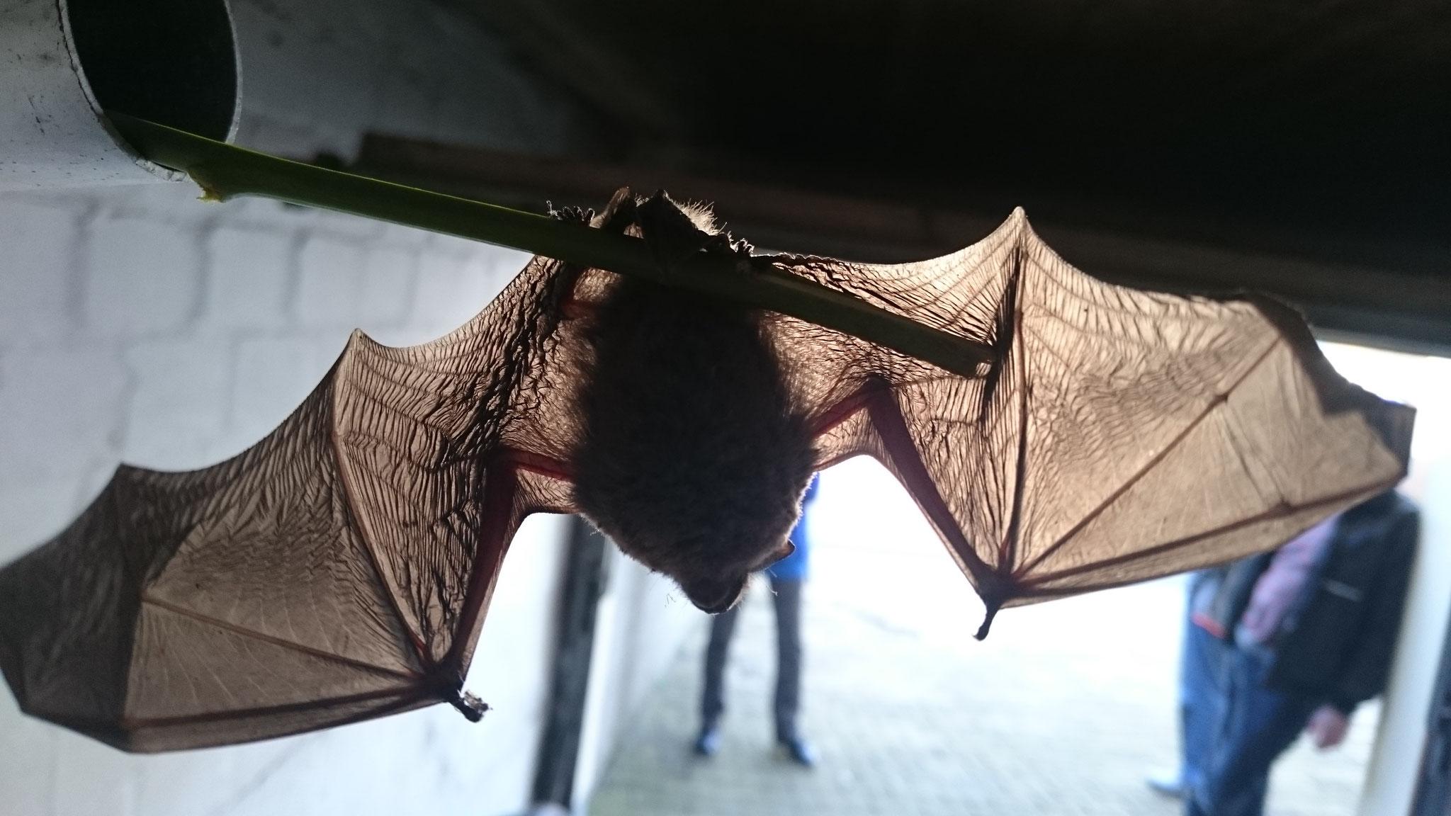 Fledermaus - gefunden in einer Garage - im Februar! - Foto: Britta Raabe