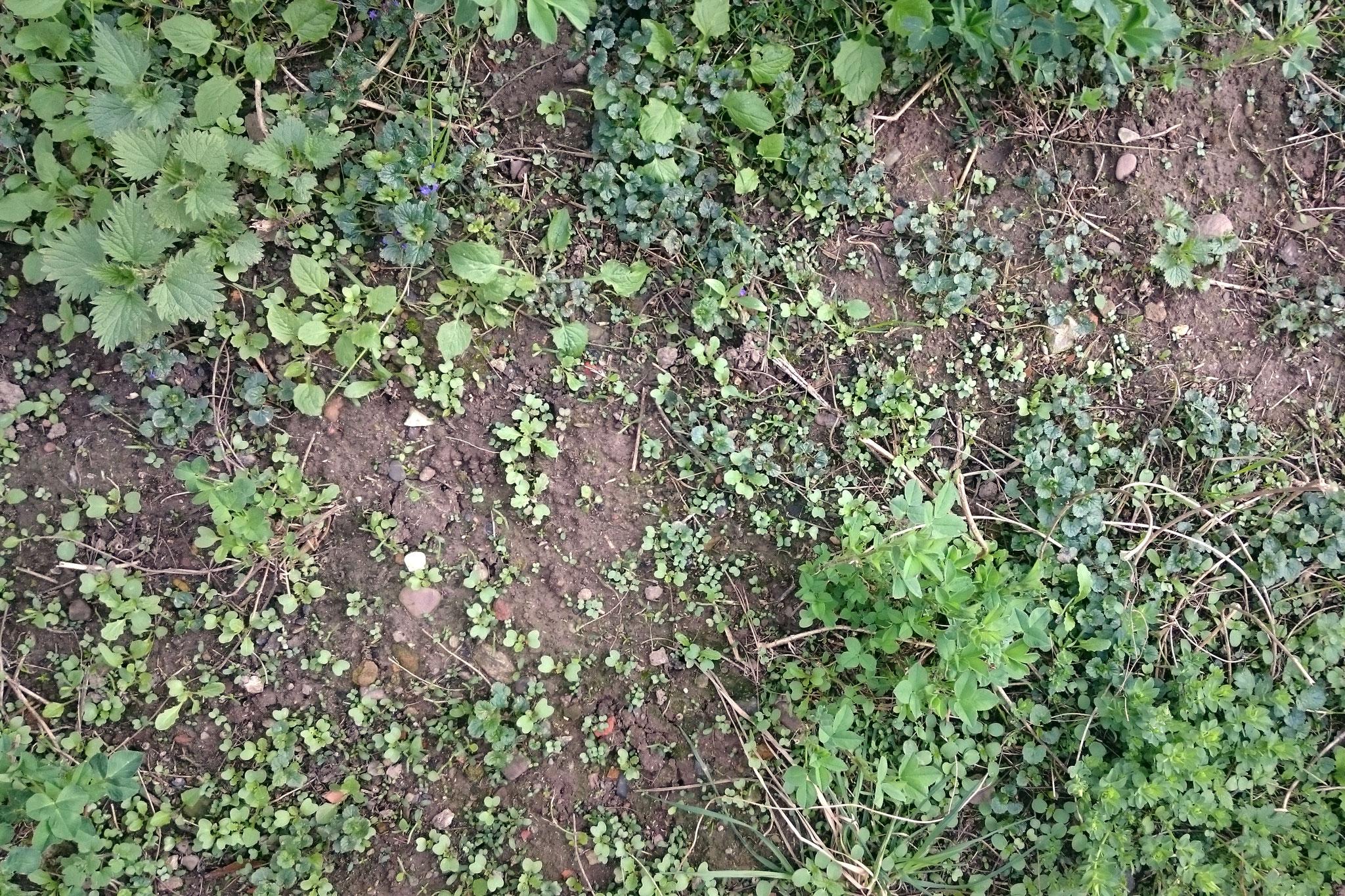 März 2019: der offene Boden lasst die Saaten des Vorjahres aufgehen - Foto: Britta Raabe