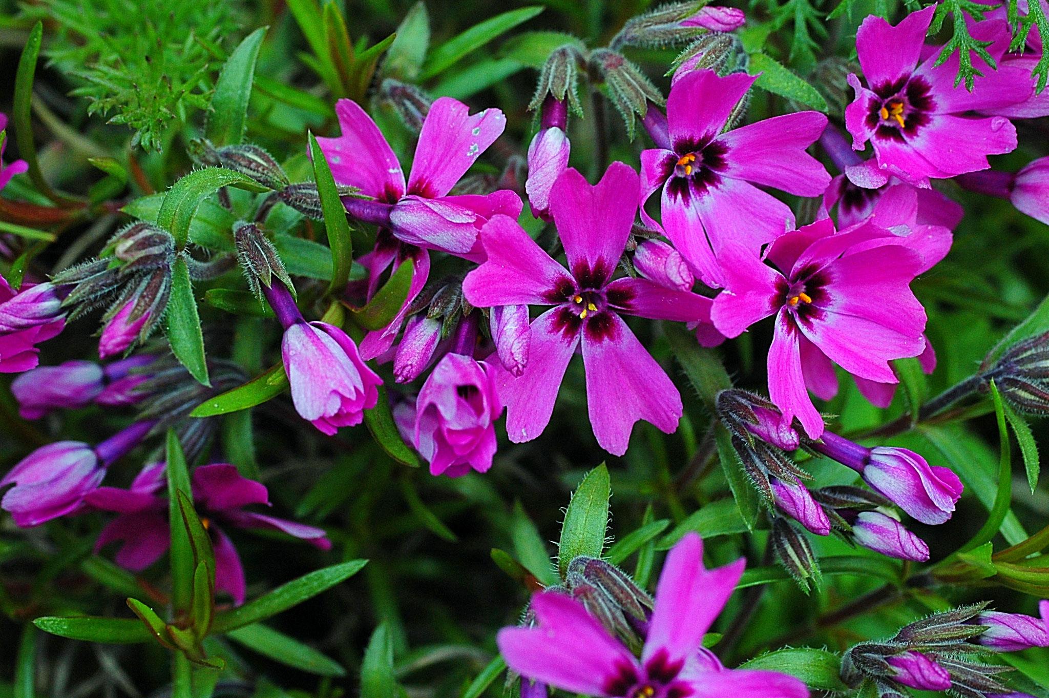 der Phlox zeigt einen satten, pinken Farbton - Foto: Britta Raabe