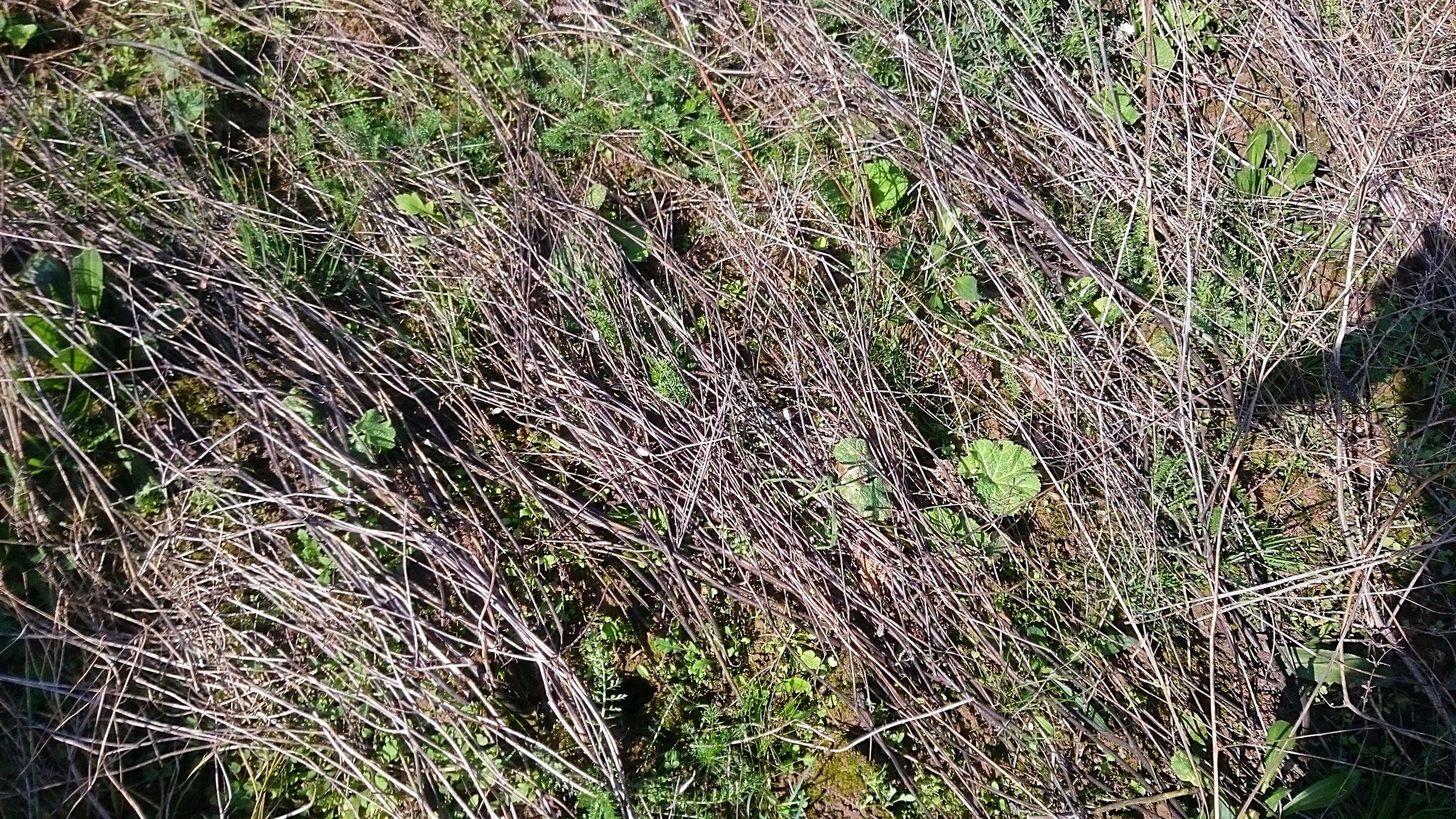 vorher: die vertrockneten Pflanzenstängel liegen locker am Boden - Foto: Britta Raabe