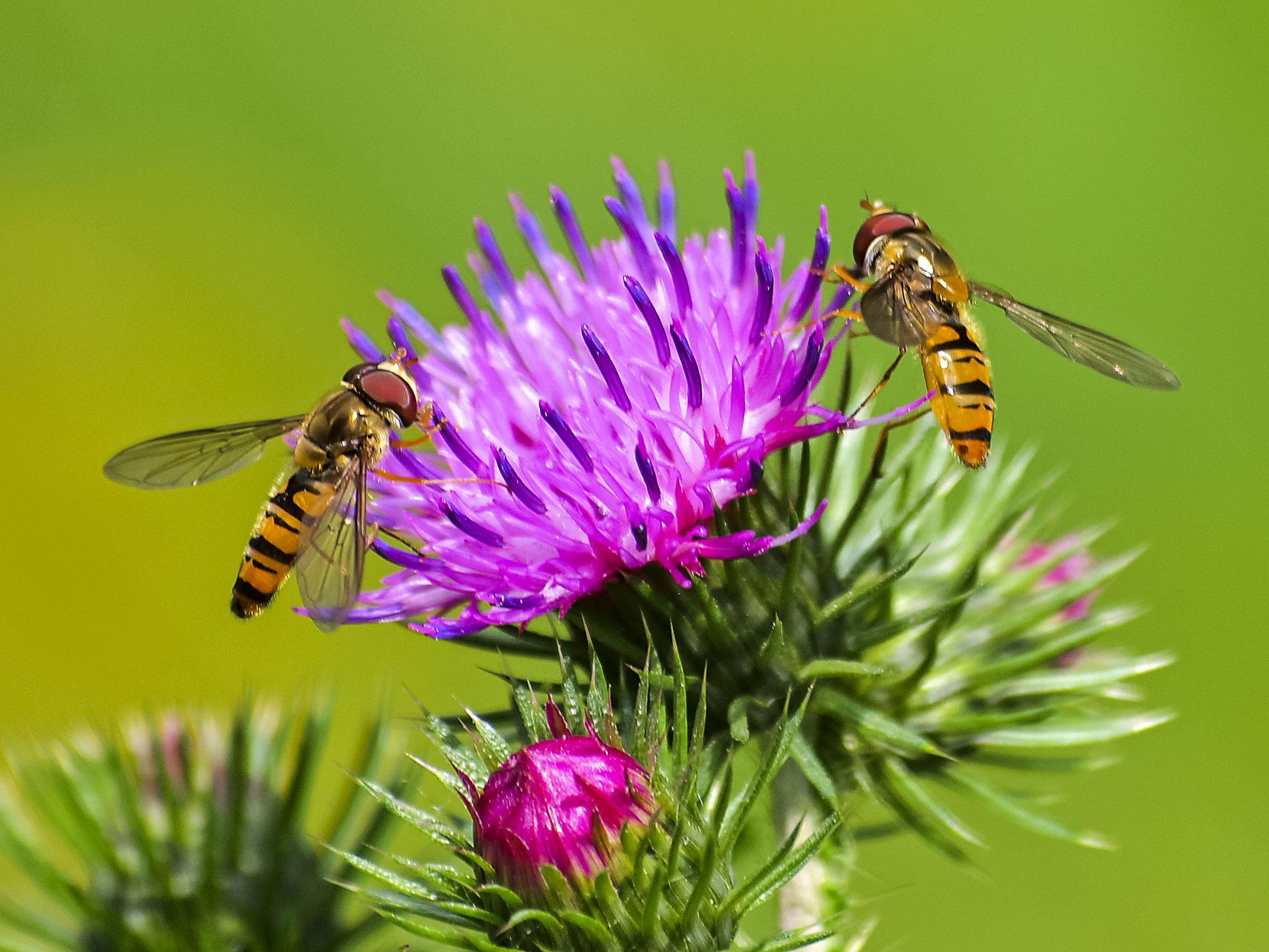 Schwebfliegen - Foto: Kathy Büscher