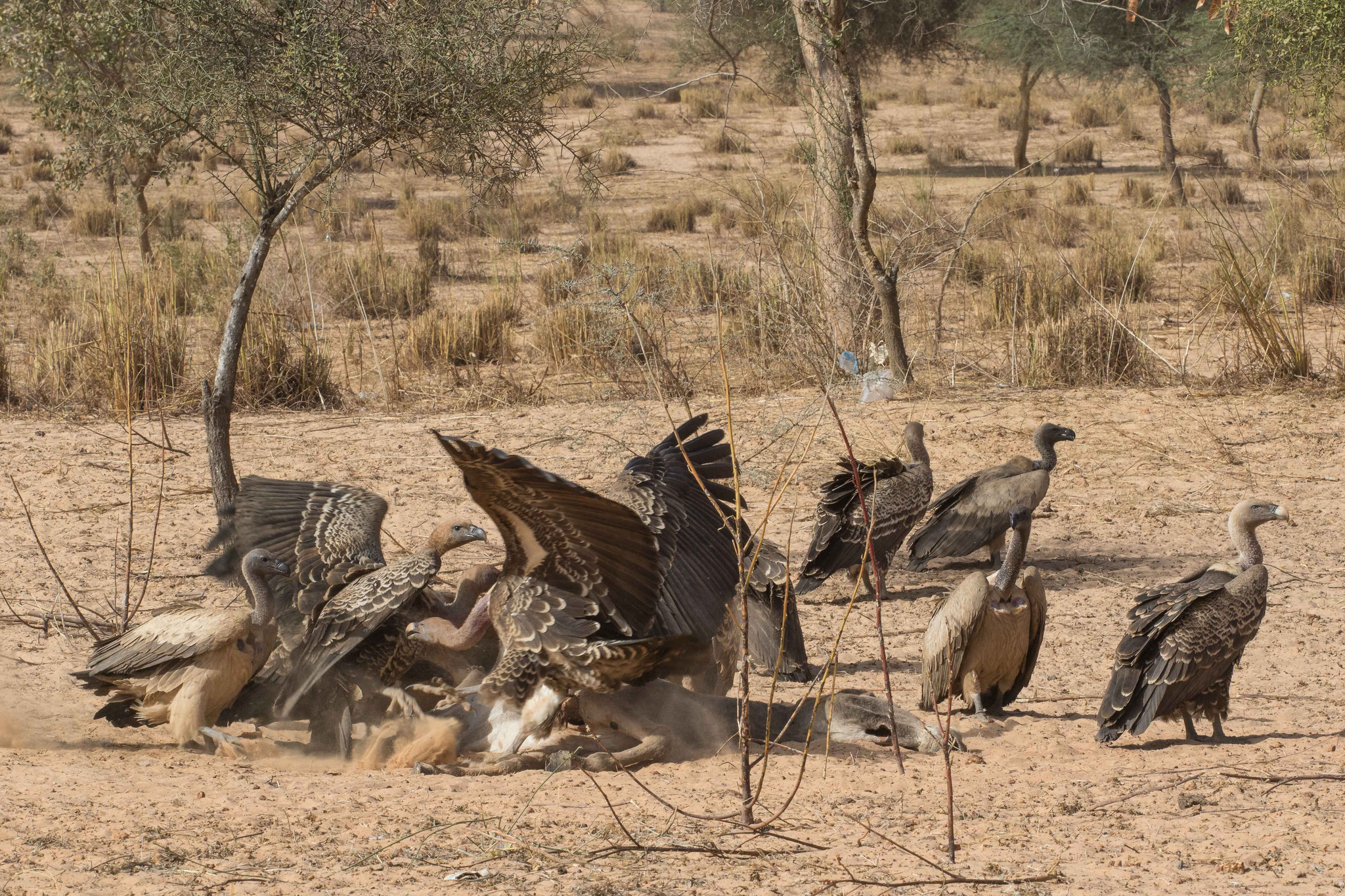 Curée de vautours