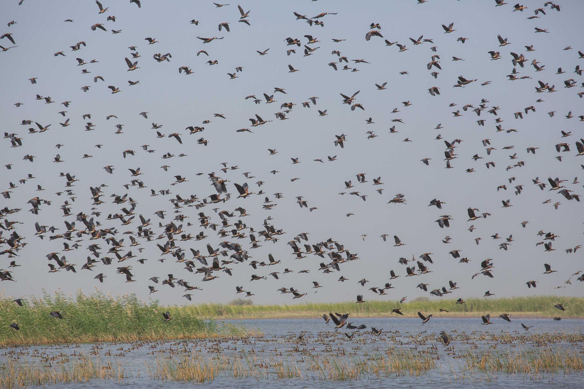 Dendrocygnes au parc national des oiseaux du Djoudj