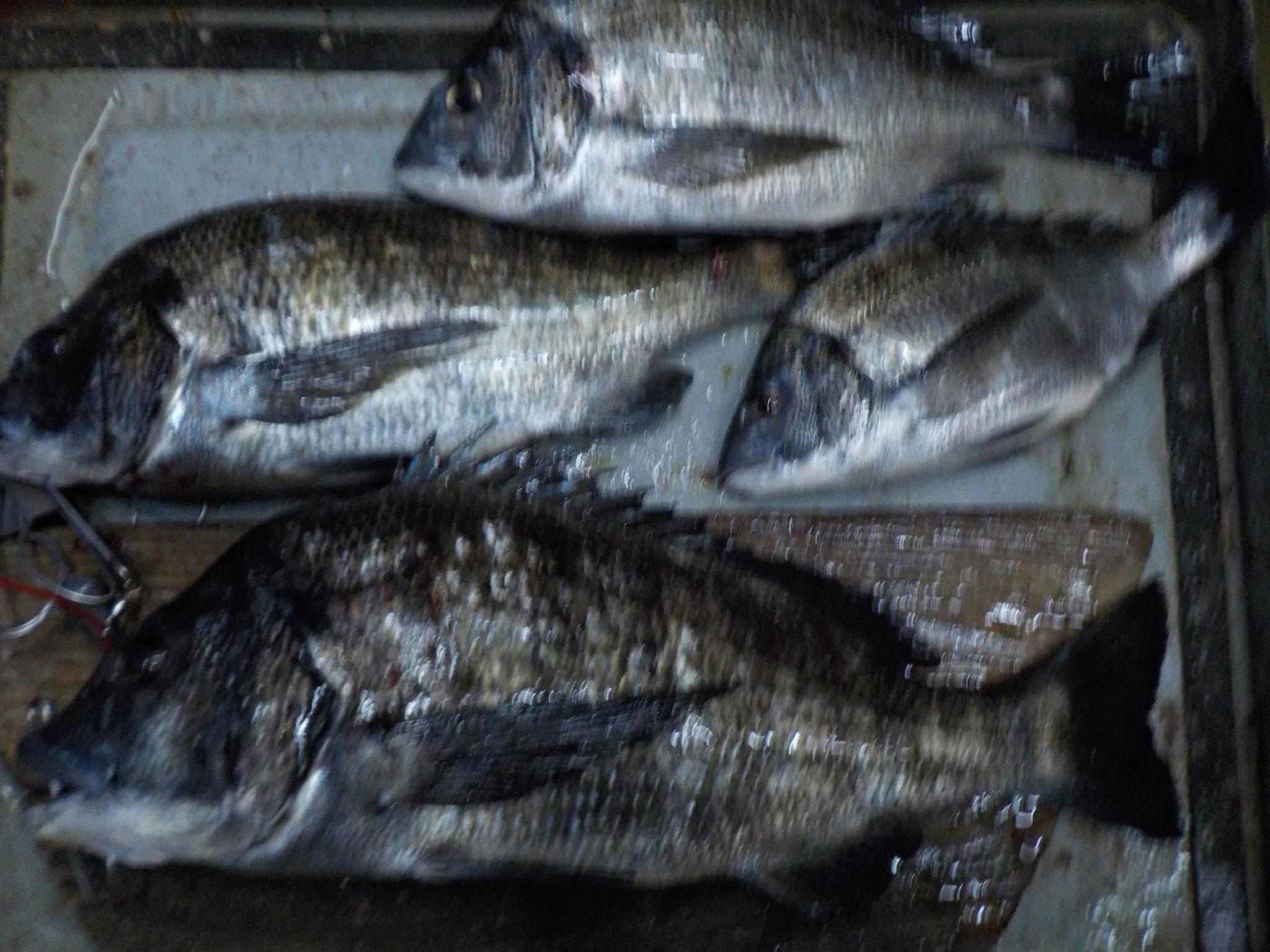 1月28日 磯釣りで吉永さん ガバチン50㎝