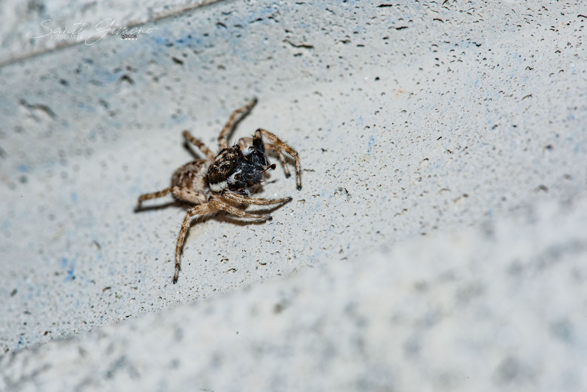 Spiderbug! (septembre 2019)