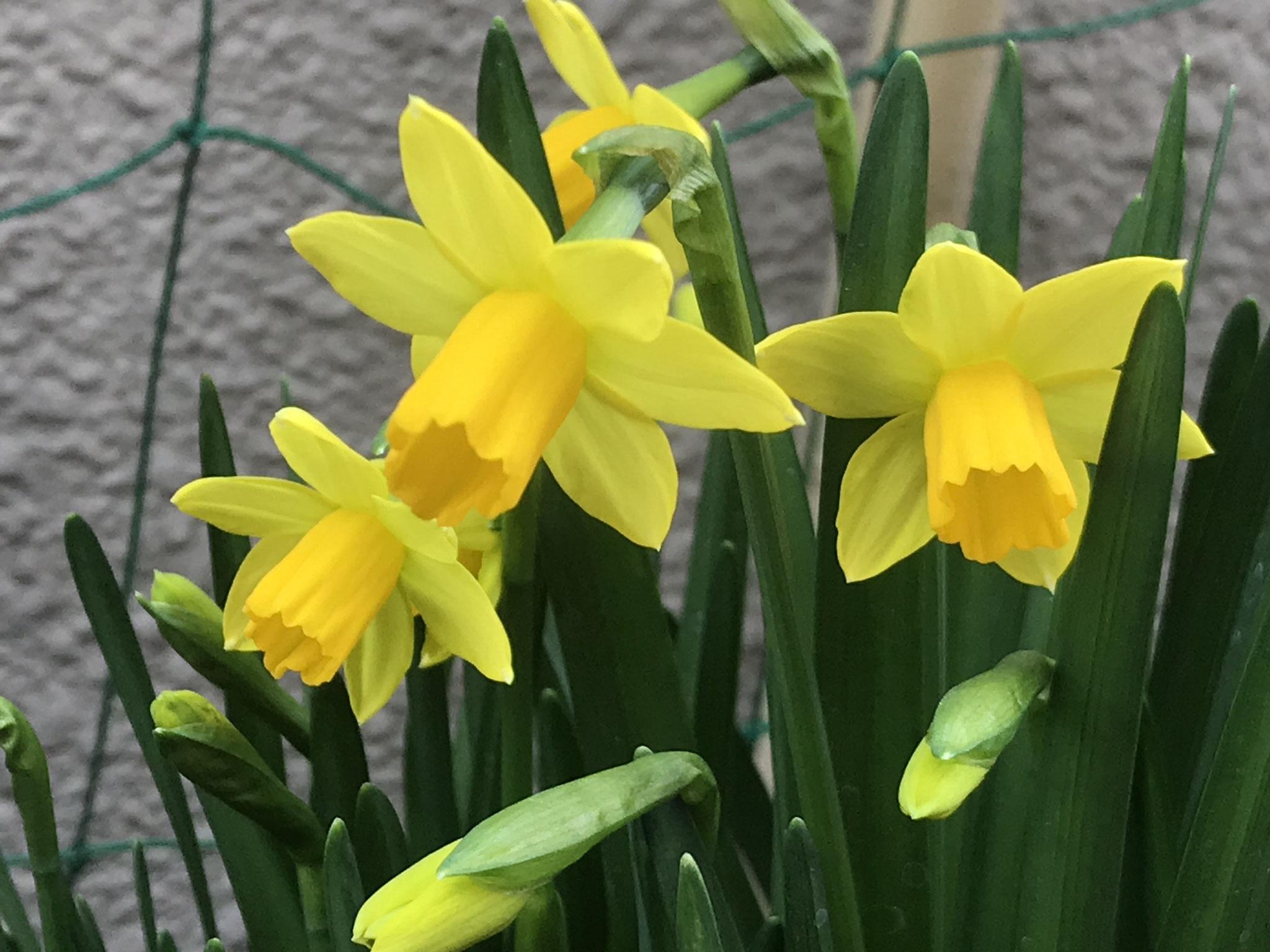アプランドルの玄関に咲いた水仙