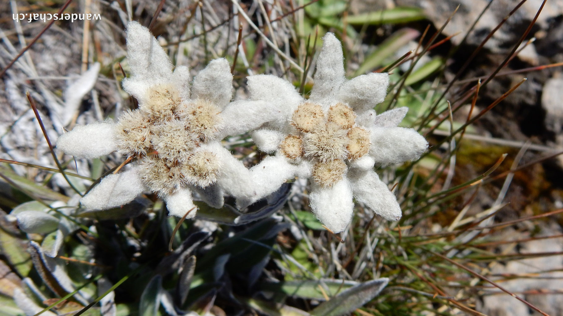 wunderbare Edelweiss