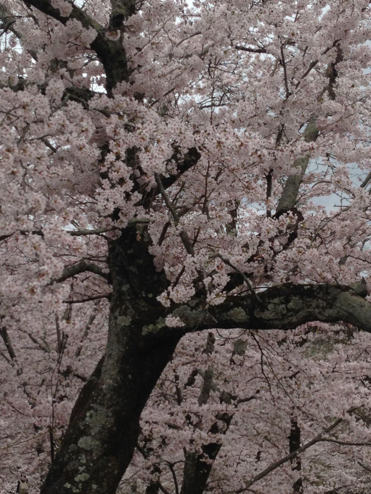 枯れ木に花が咲く、桜は奇跡