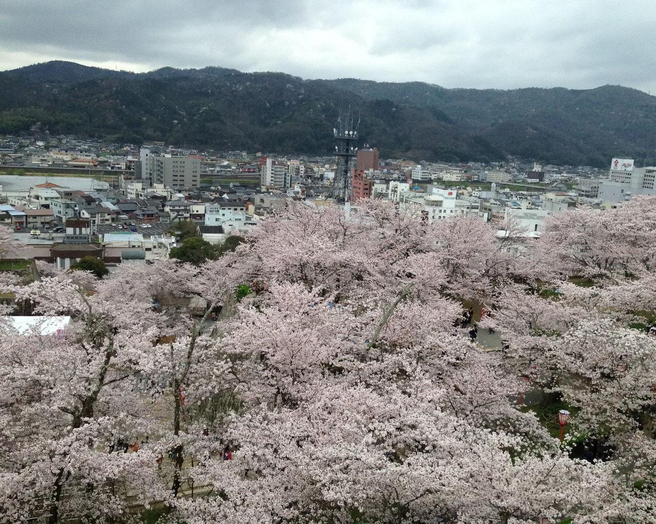桜まつりIN津山・鶴山公園 満開です!